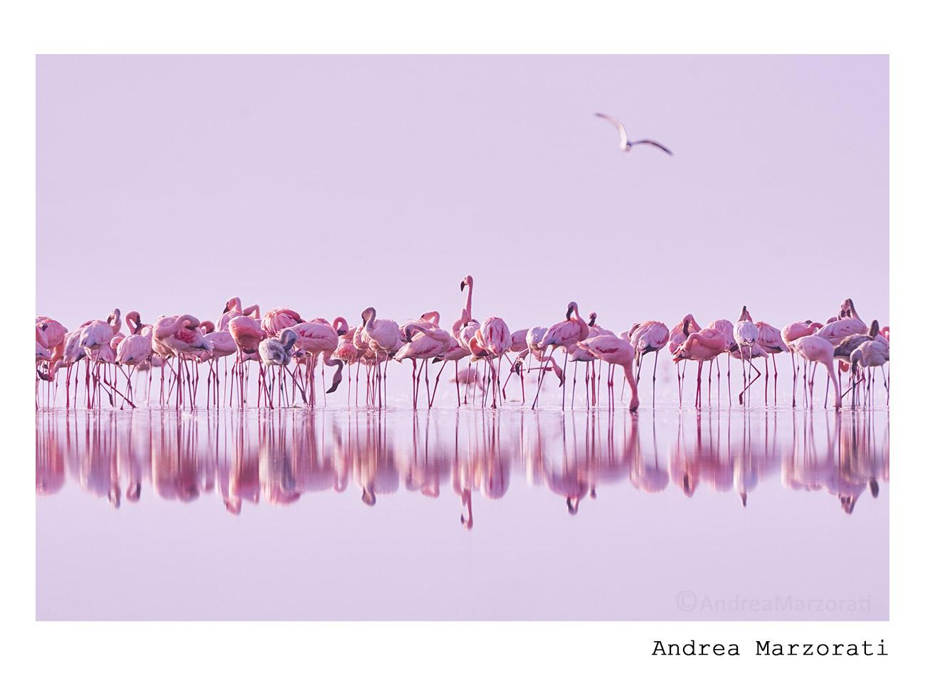 Lesser flamingos at dawn...