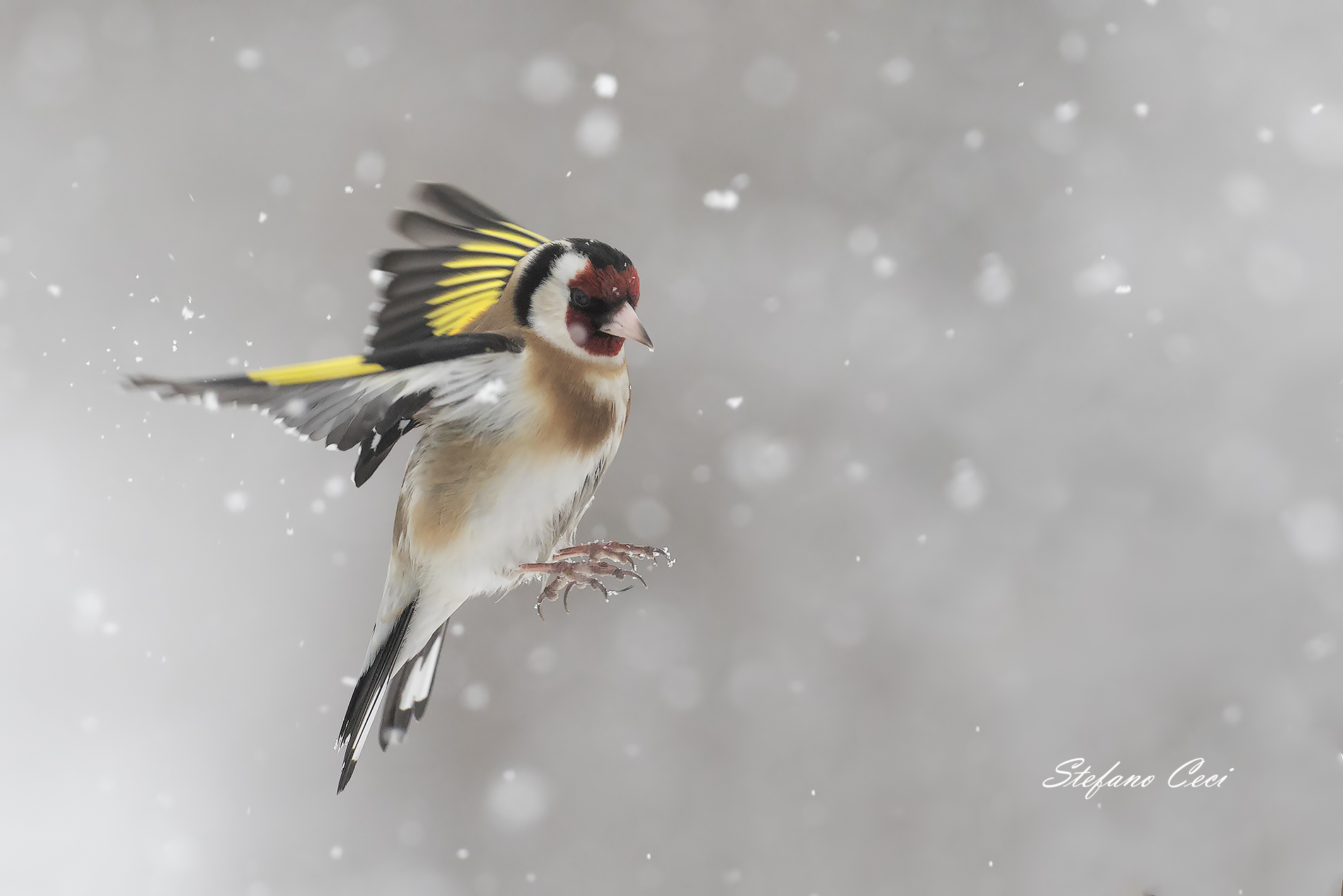 Goldfinch on the fly...