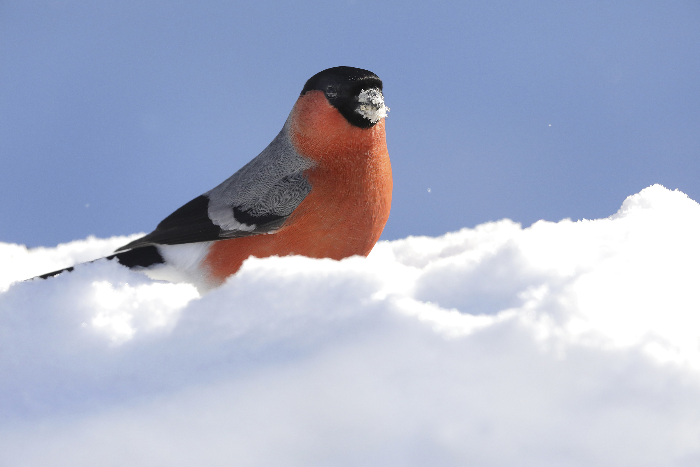 Bullfinch and the great cold...
