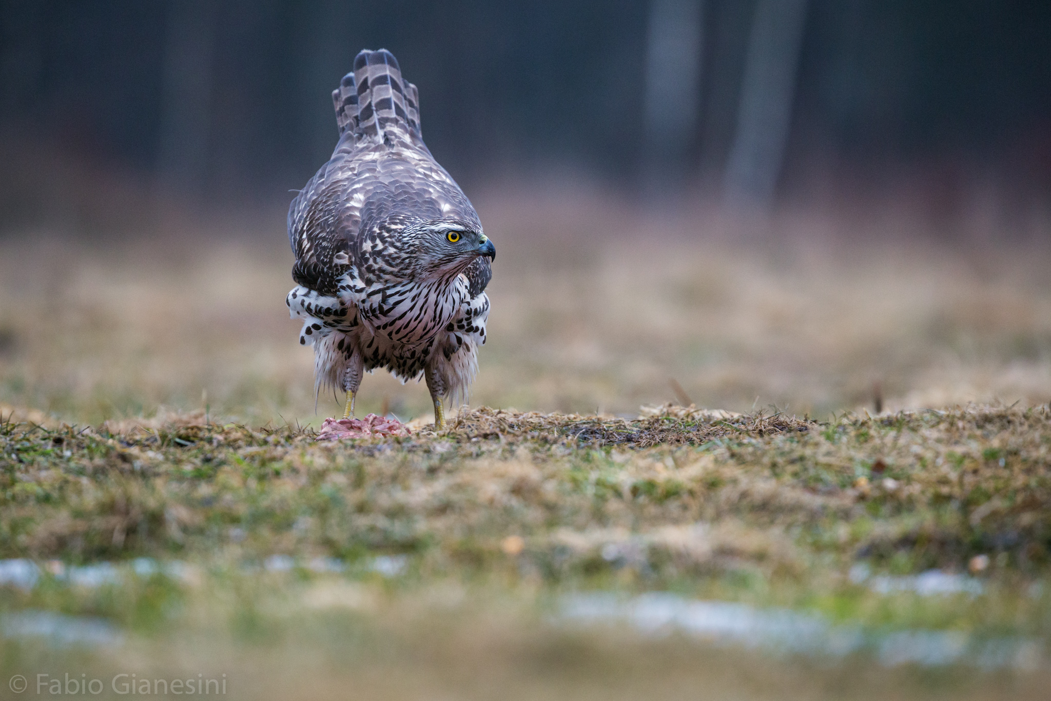Young Goshawk...