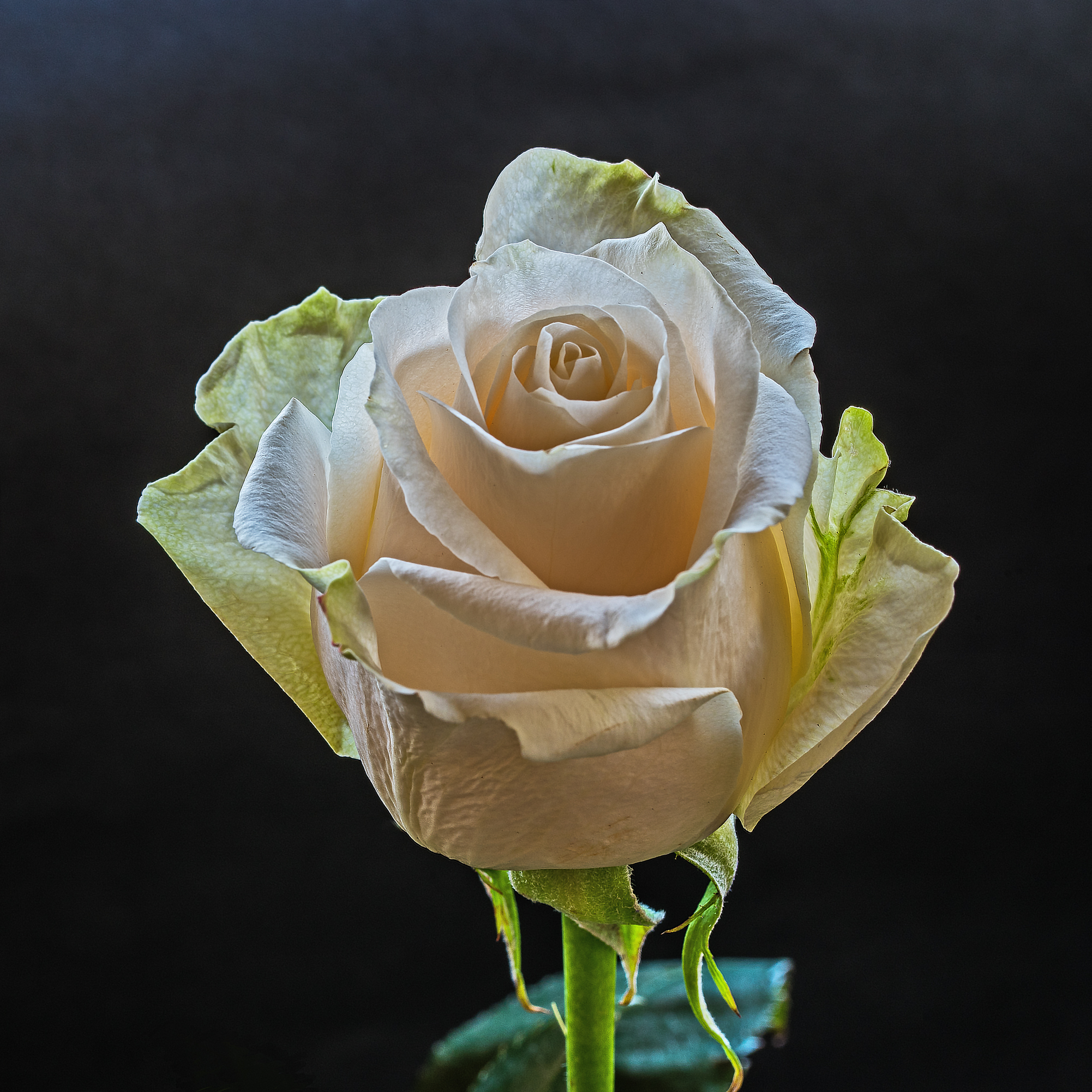 A rose dedicated to you...