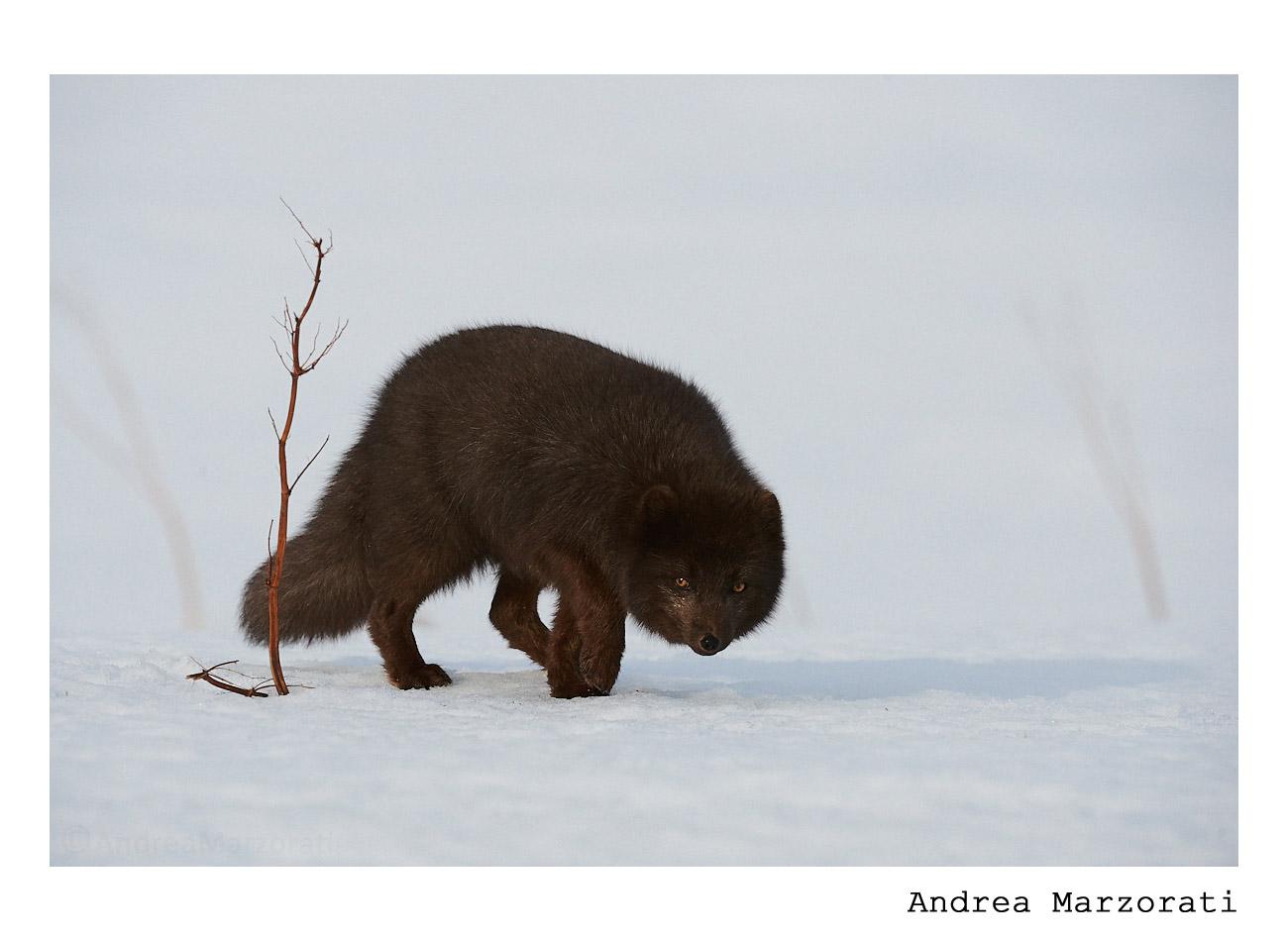 Blue arctic fox...