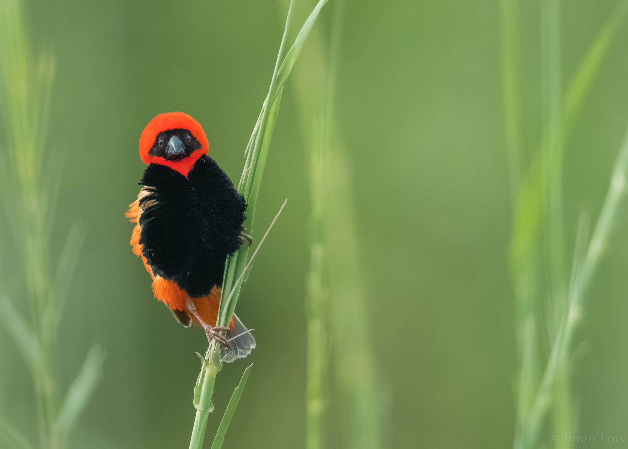 Southern Red Bishop - Male...
