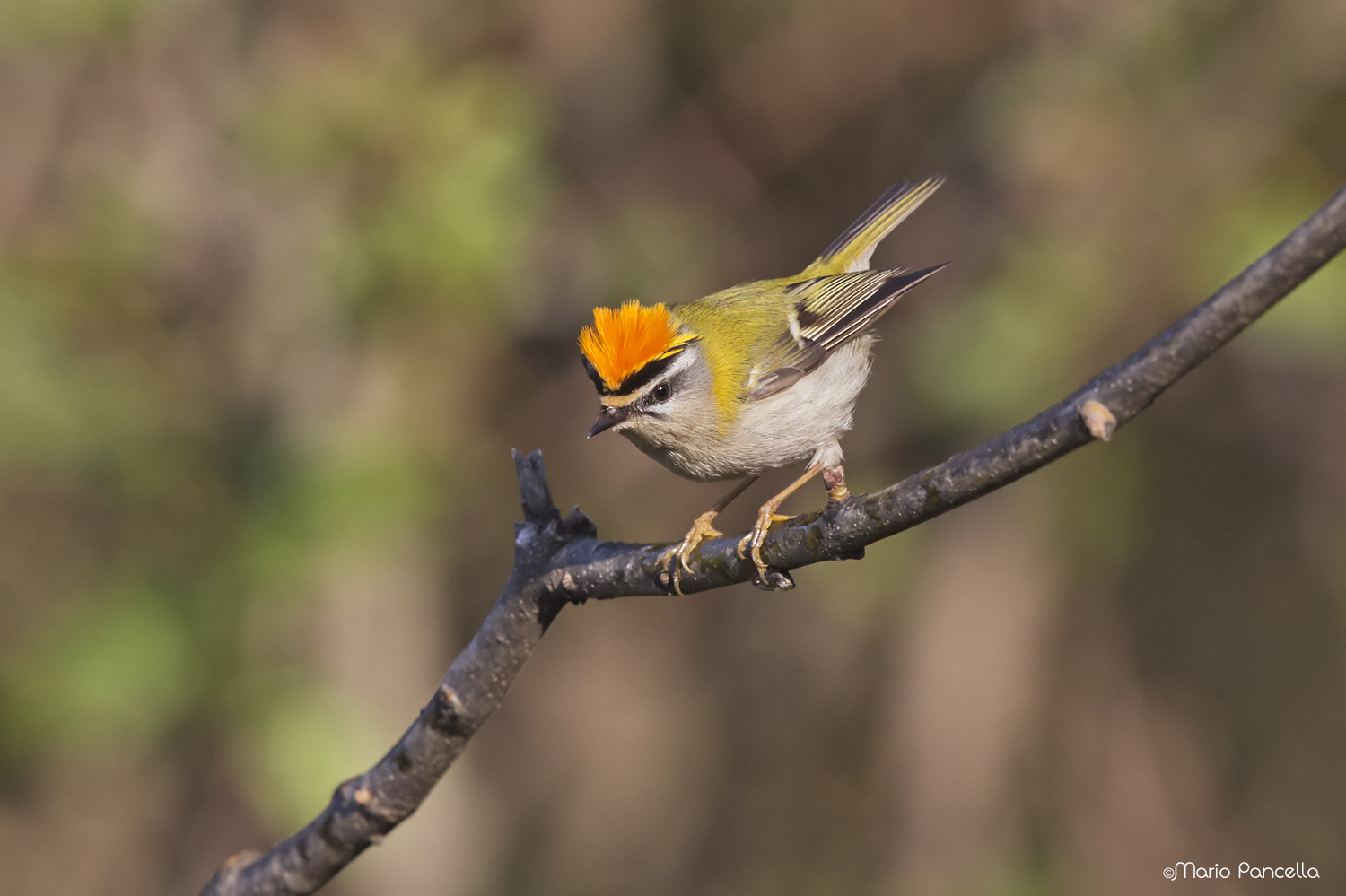 Firecrest angry...