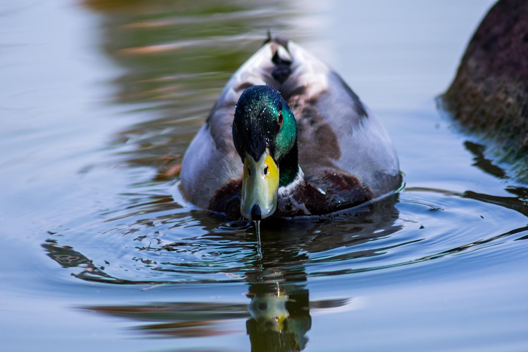 Duck vain!...