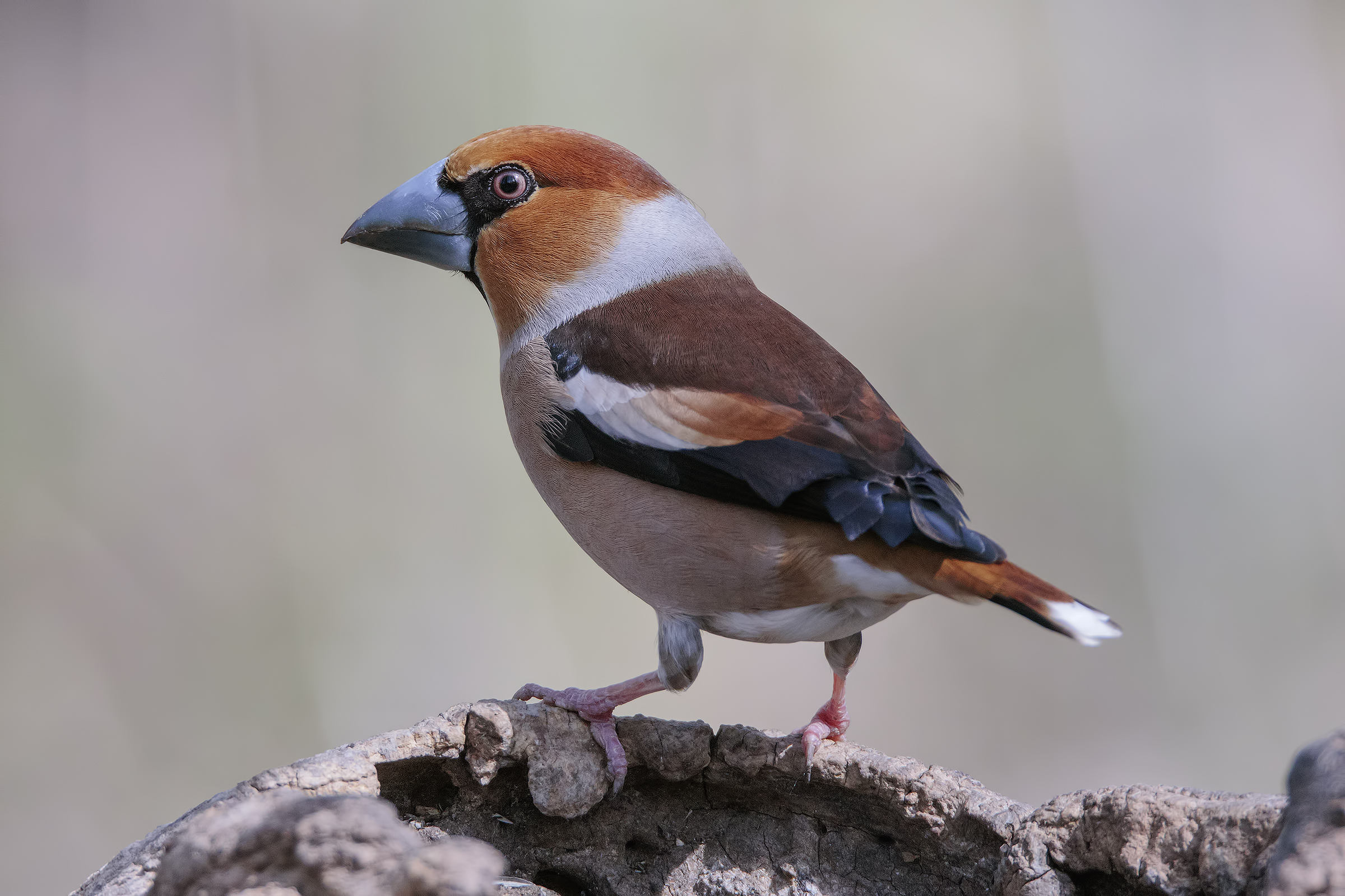 The splendid livery of hawfinch (m)...