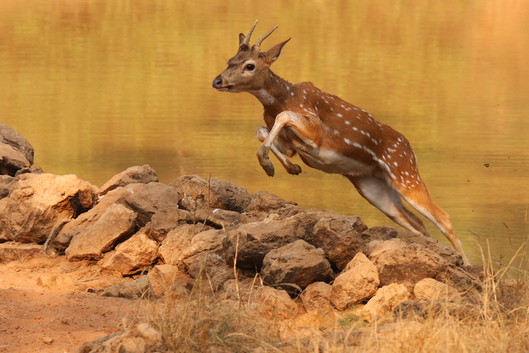 Young Chital (Axis Axis)...