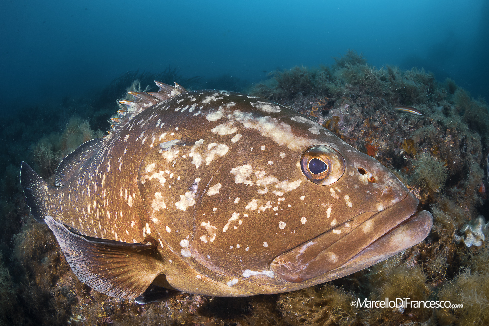 The Grouper...