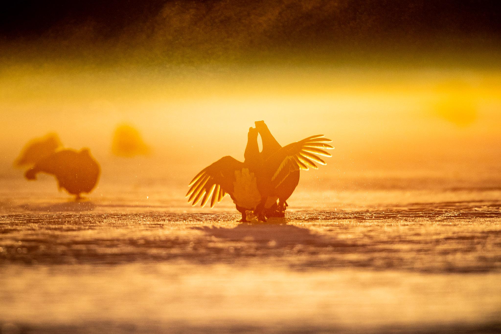 Black Grouse fighting at sunrise...