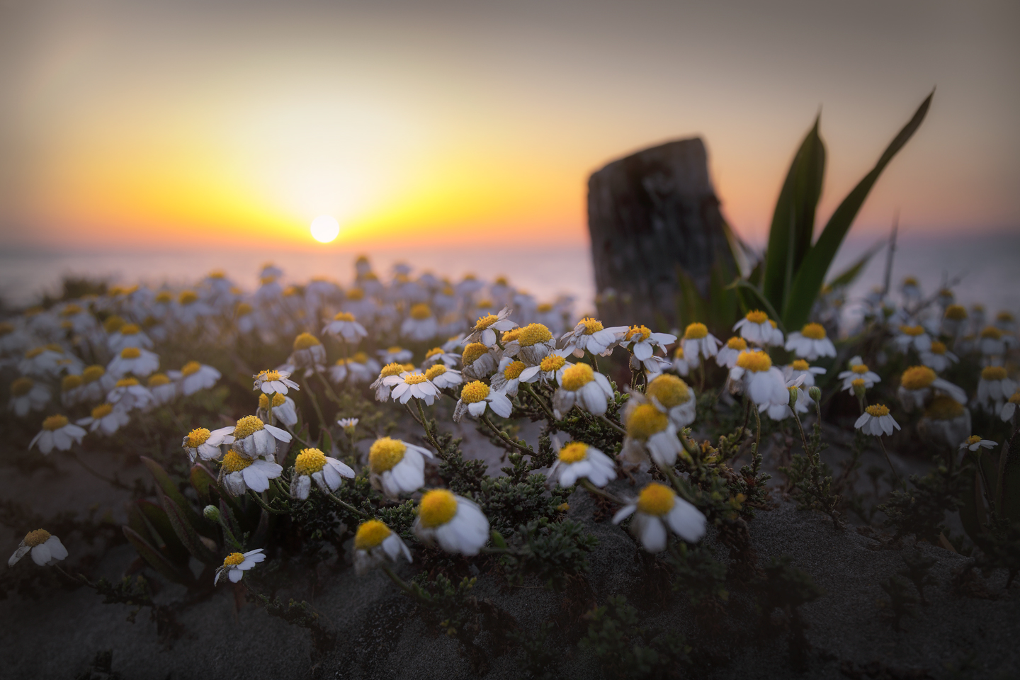 The sunset attracts Daisies ...
