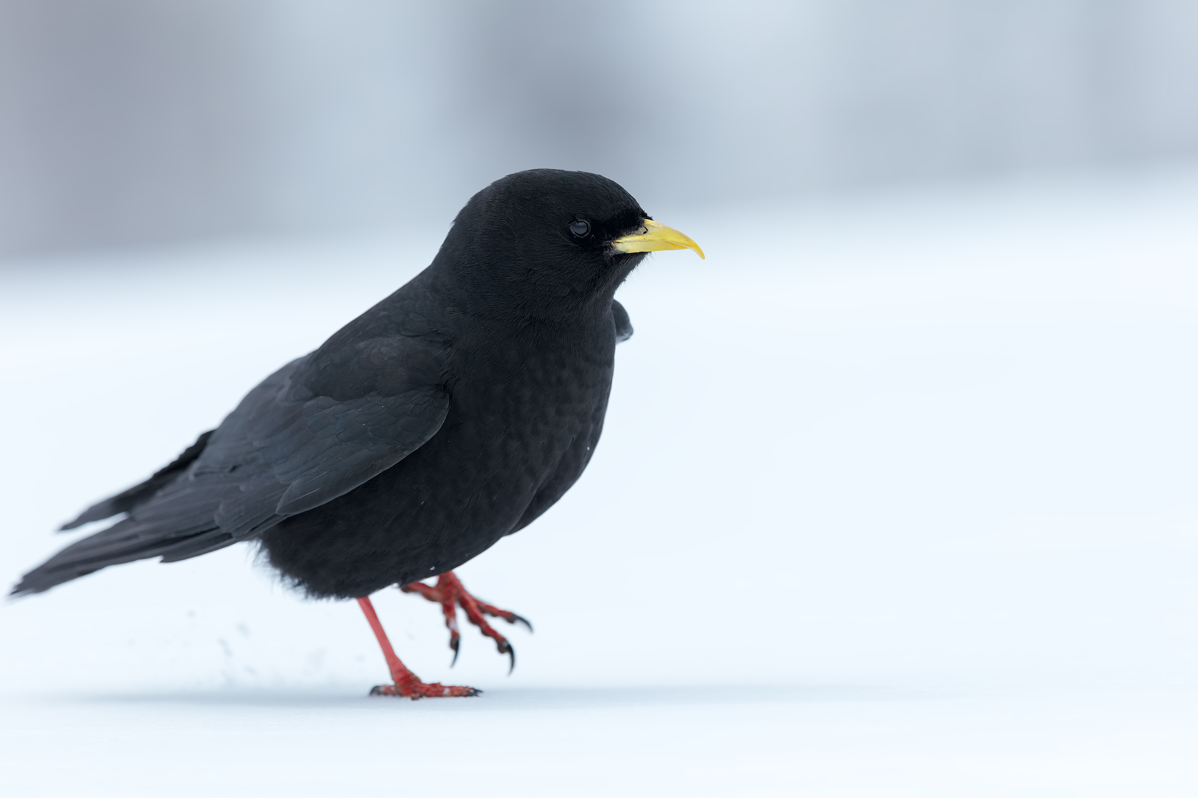 Alpine Chough in the snow...