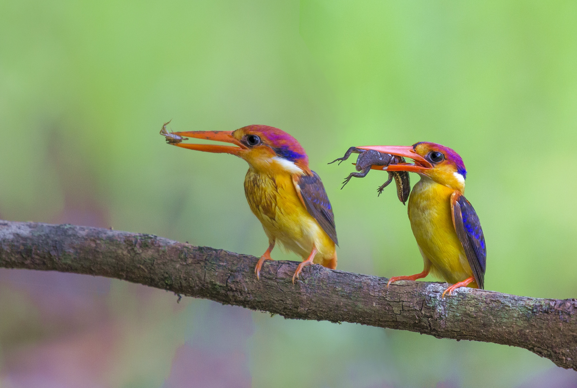 Oriental Dwarf Kingfisher, Pair....