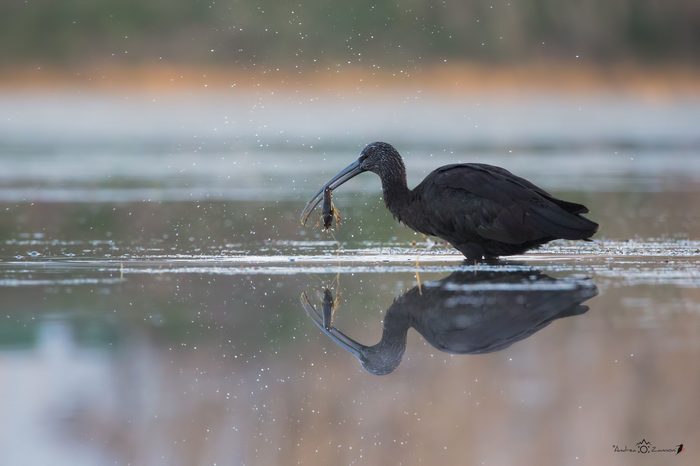 Breakfast with the glossy ibis...