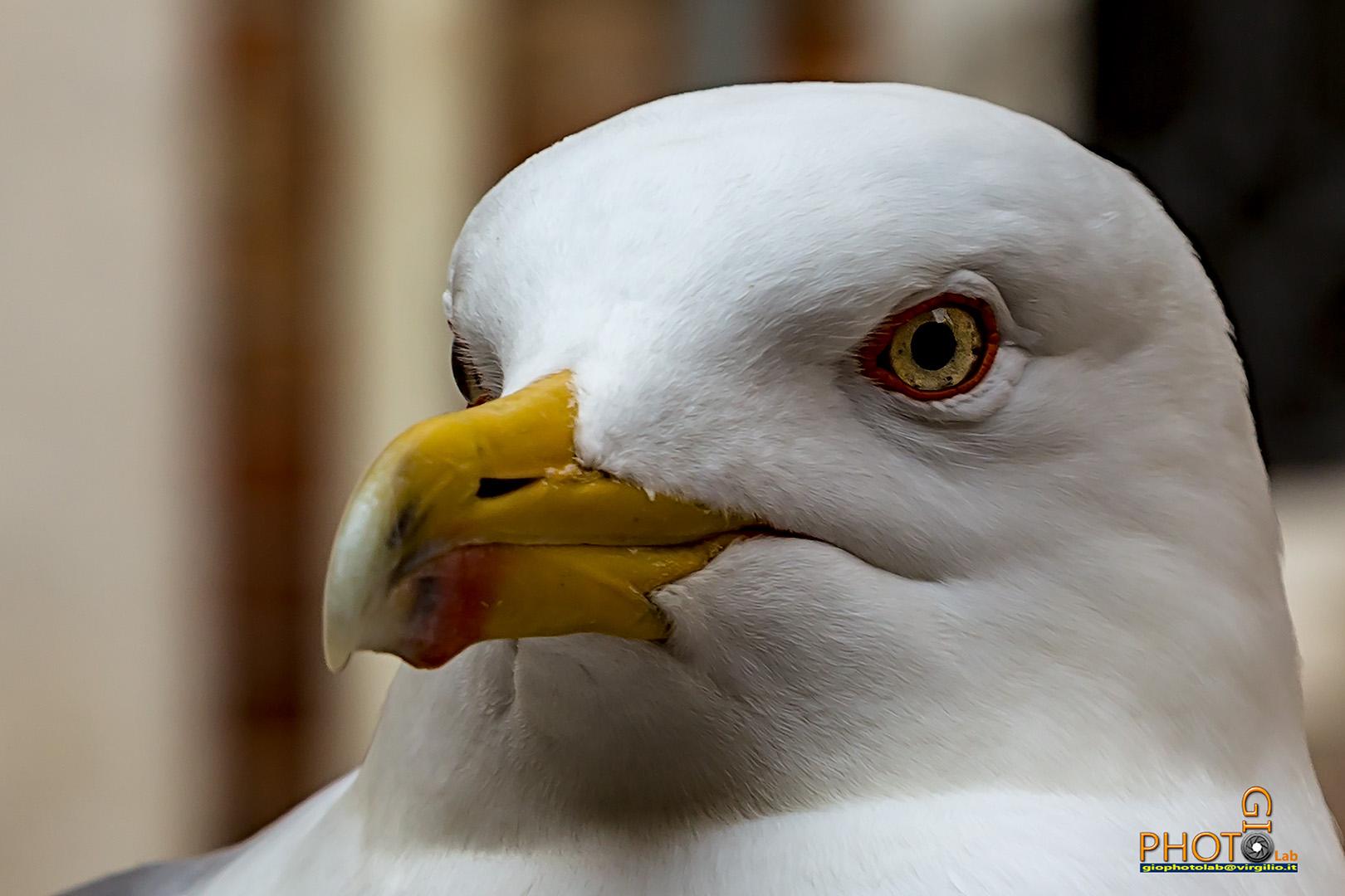 Herring Gull in Venice...