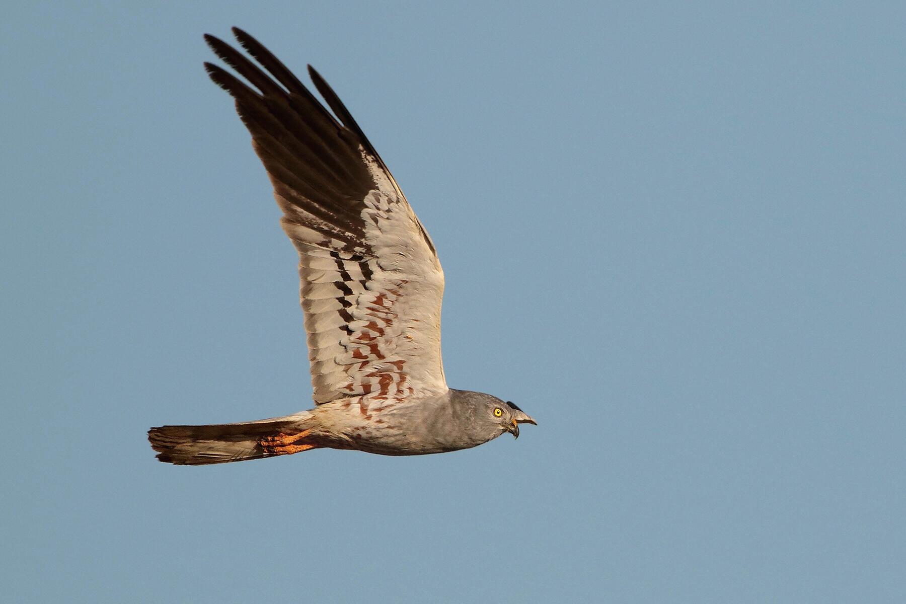 A male Montagu's Harrier...