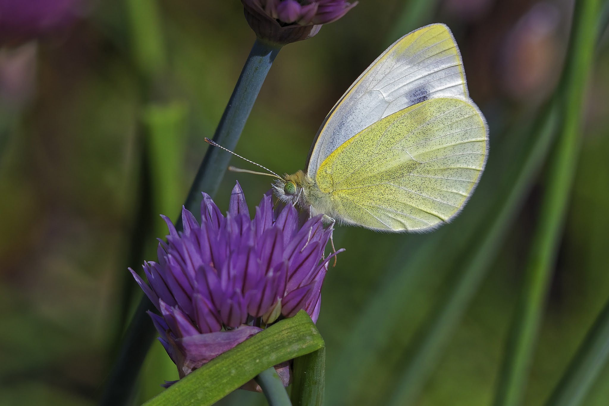The butterfly on chives ...