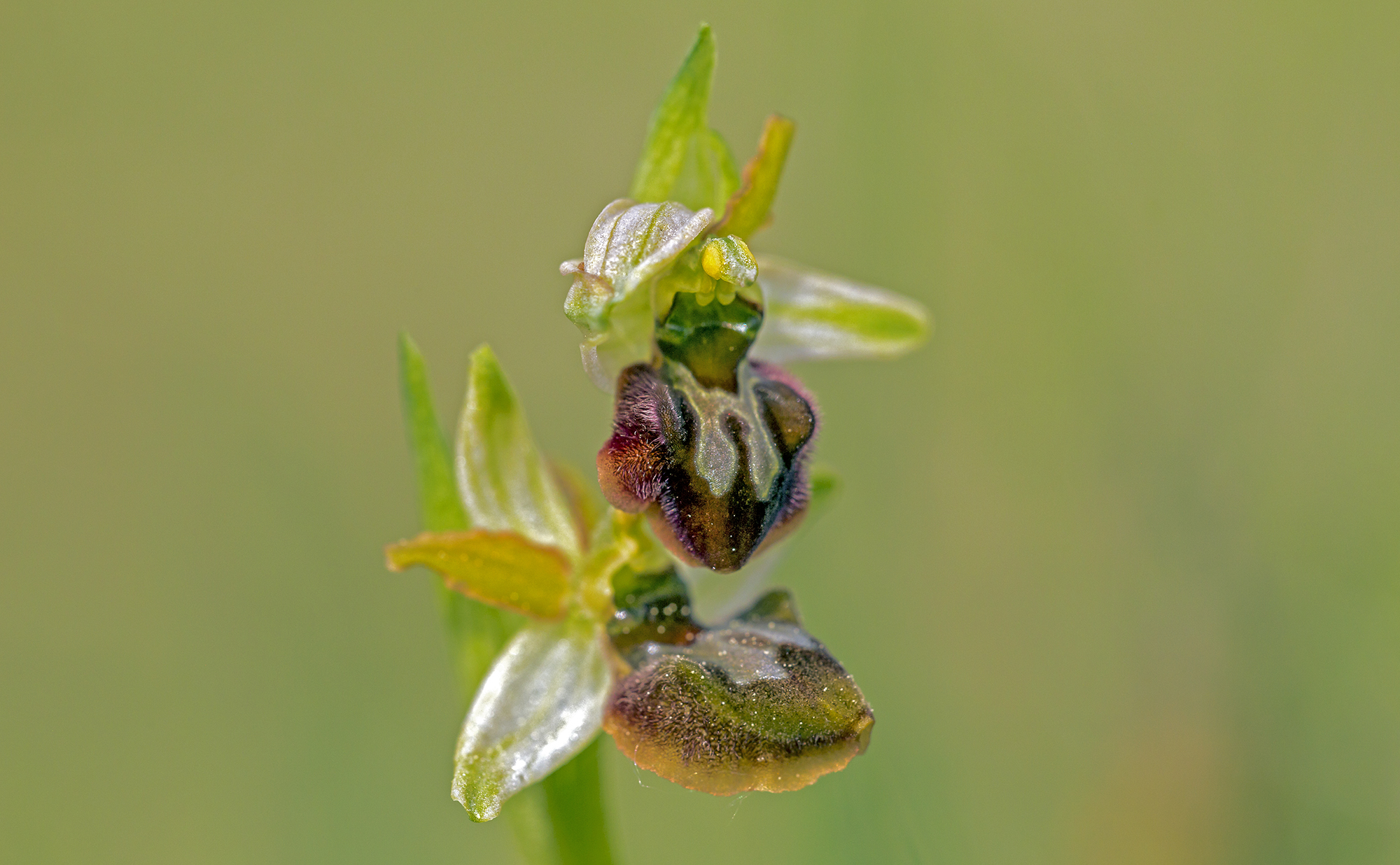 Ophrys araneola (Sphegodes)...