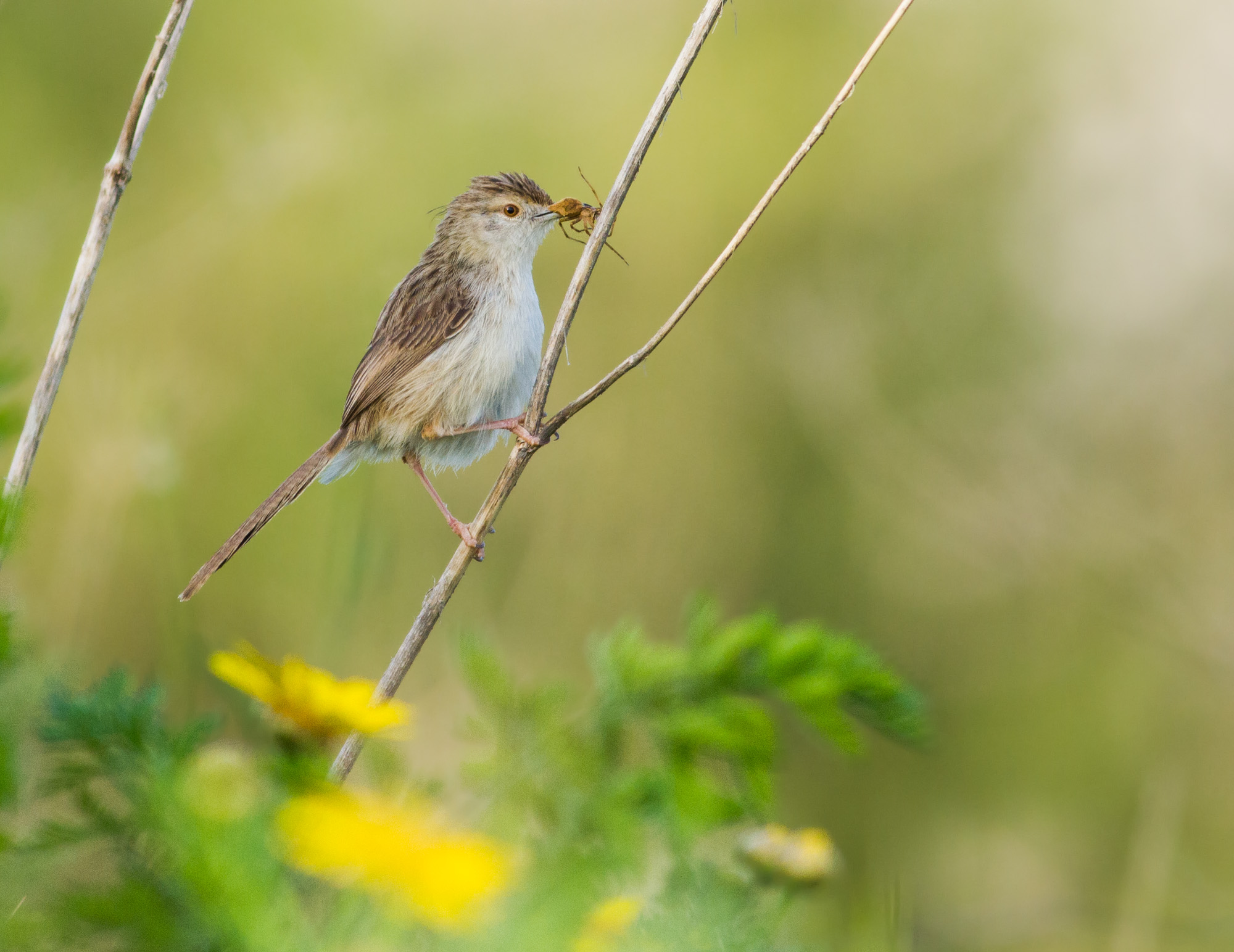 an afternoon  spider snack ( Graceful prinia )...