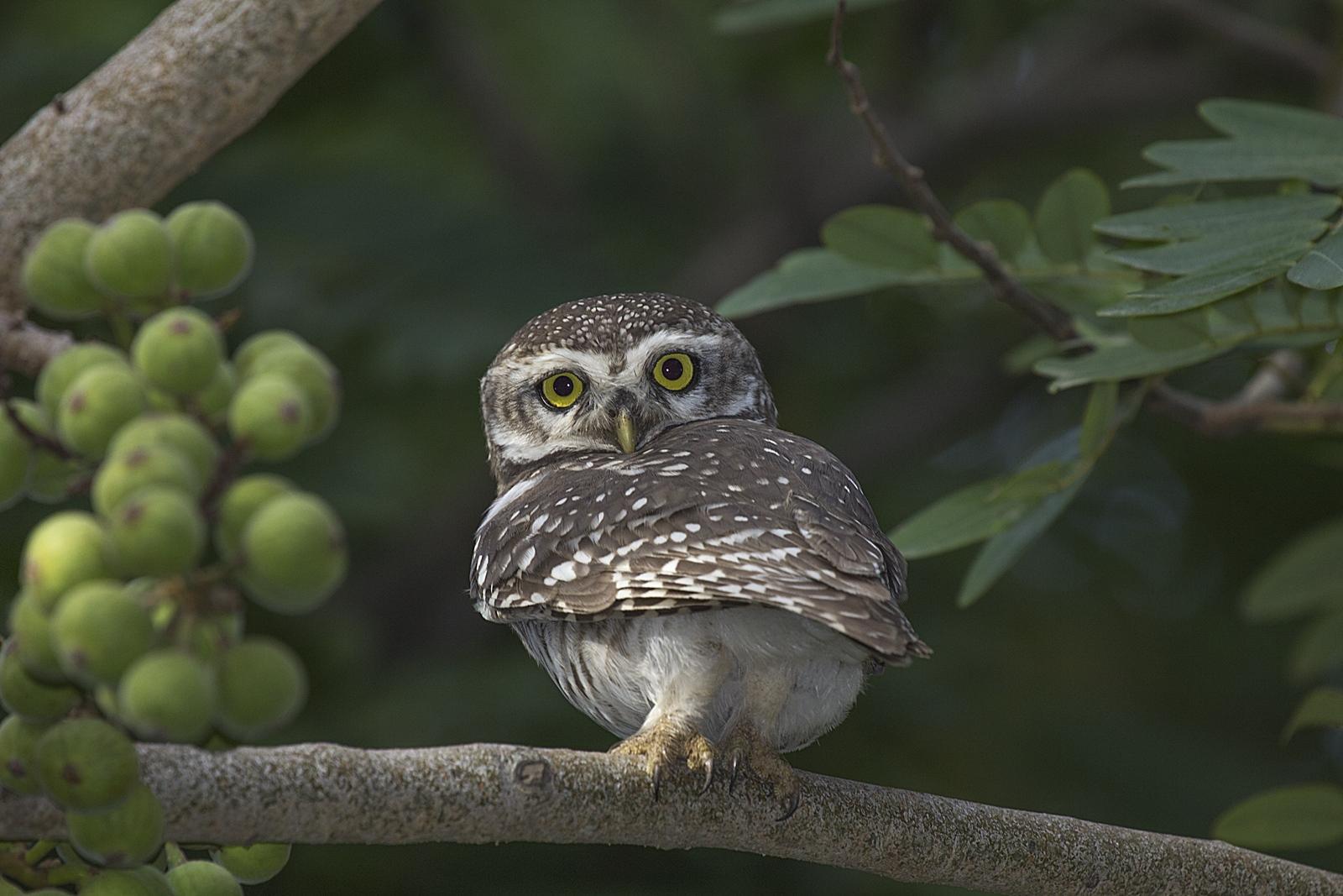 Owl....