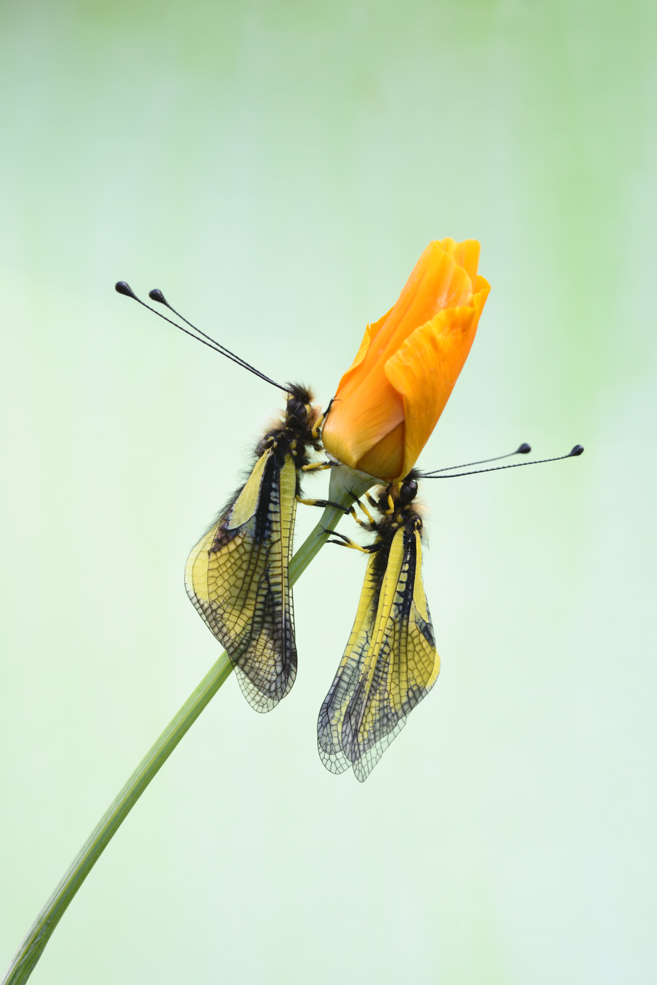 Libelloides Coccaius...