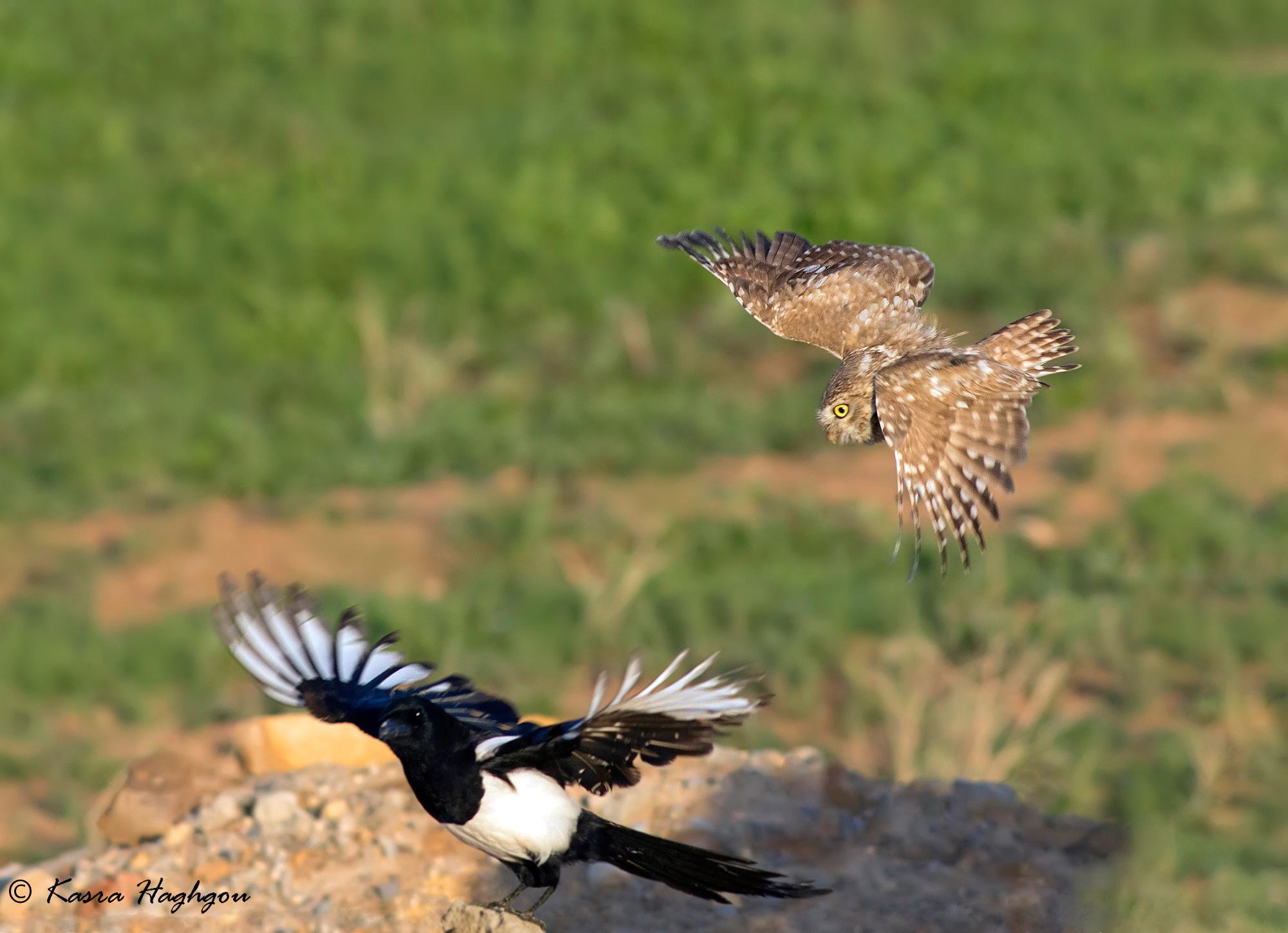 little owl & Magpie...
