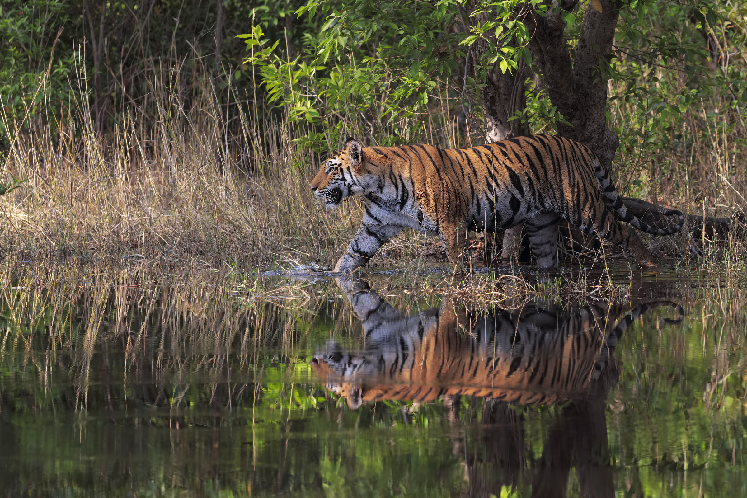 Tigers in water...