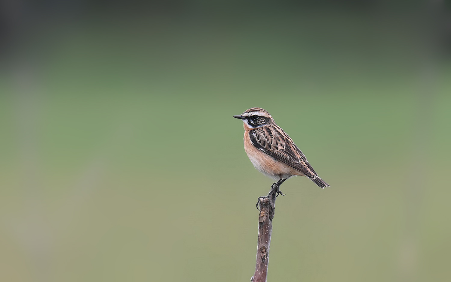 Whinchat...