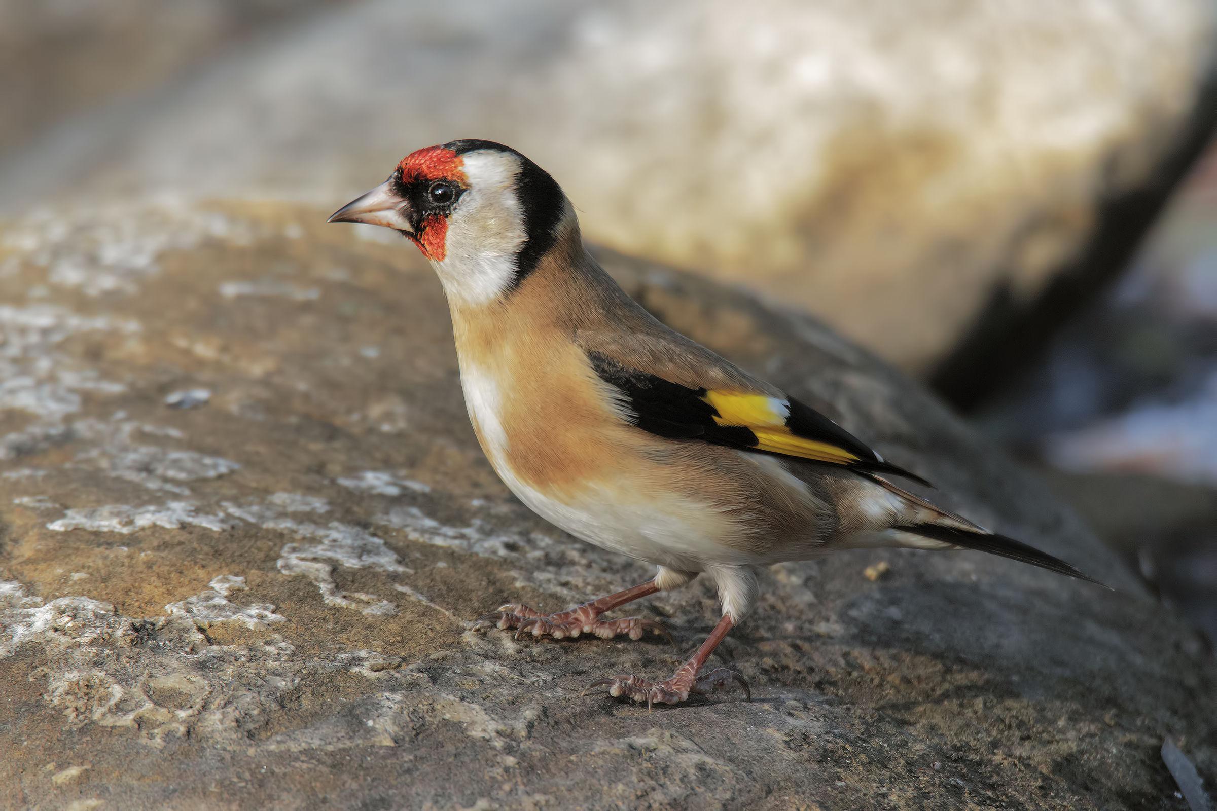 Goldfinch ...