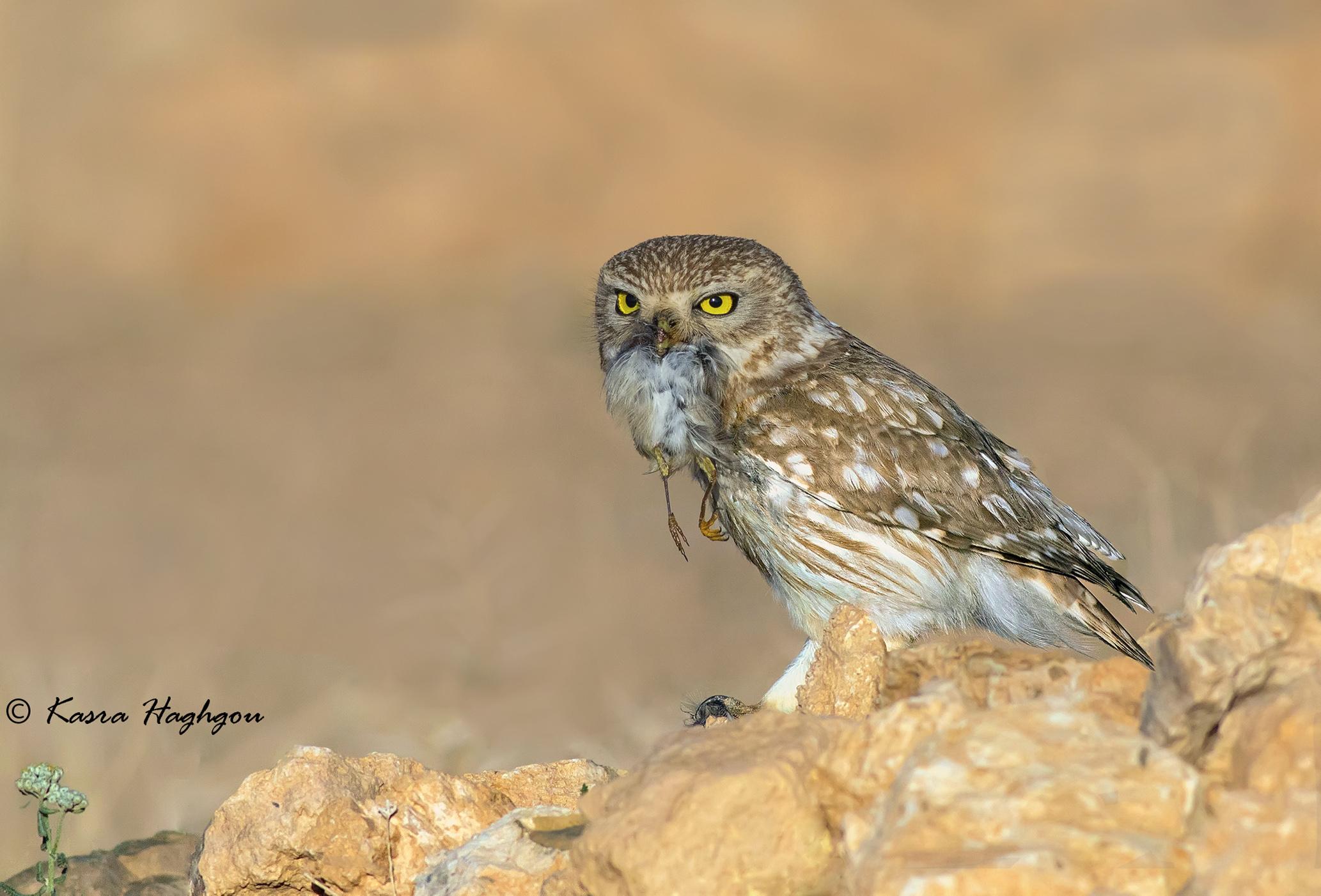 little owl whit prey...