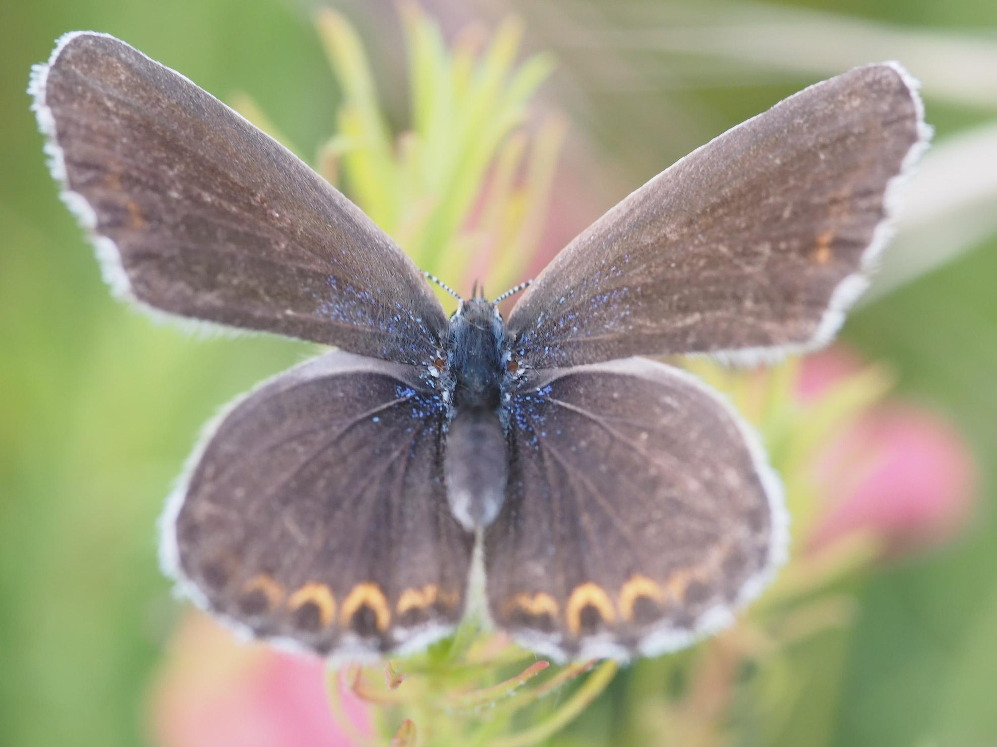 Farfalla...