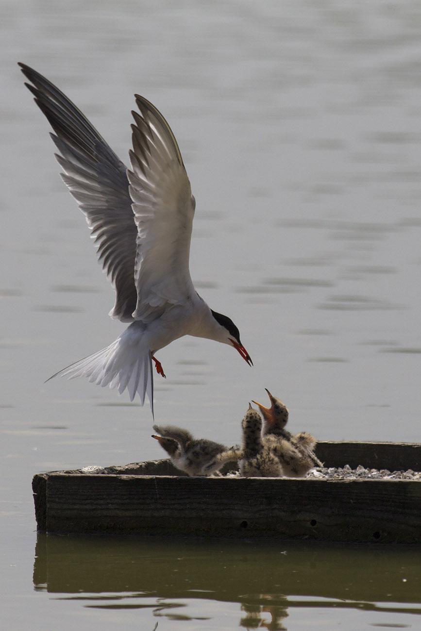 Sea swallow: my My......