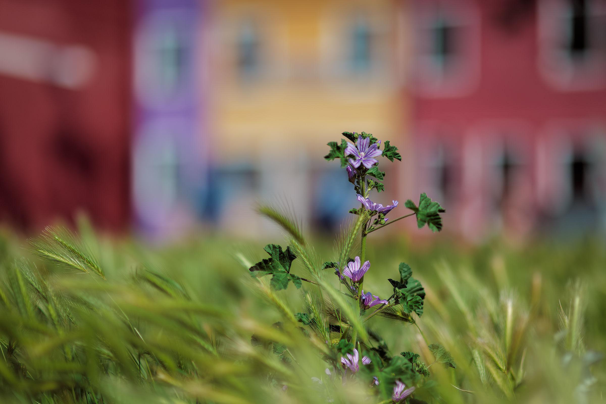 Burano in fiore....