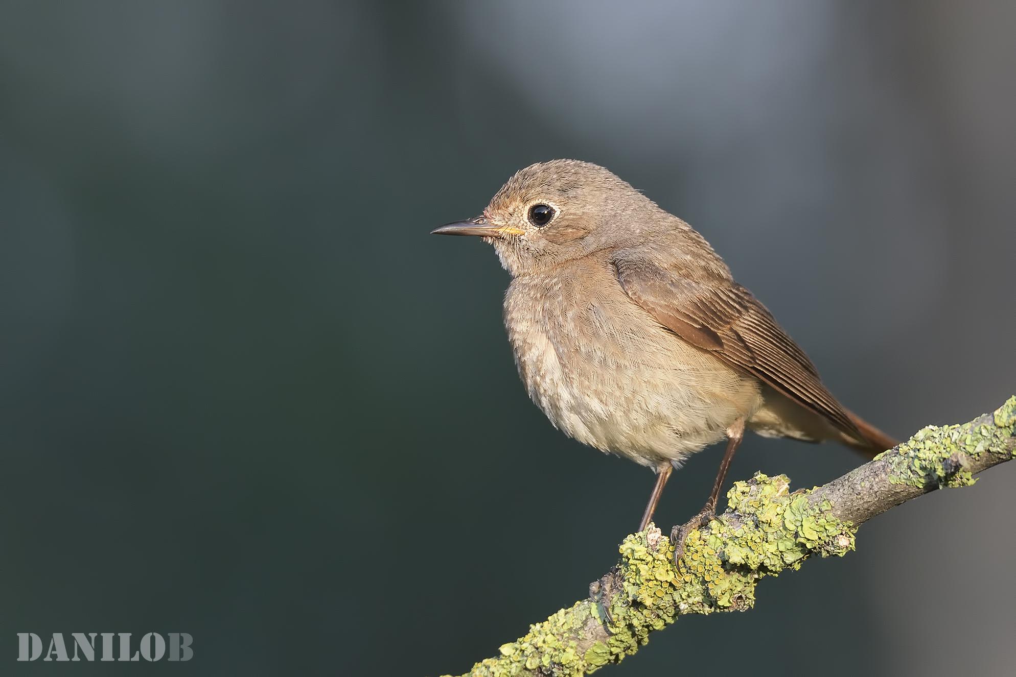 Young Redstart...