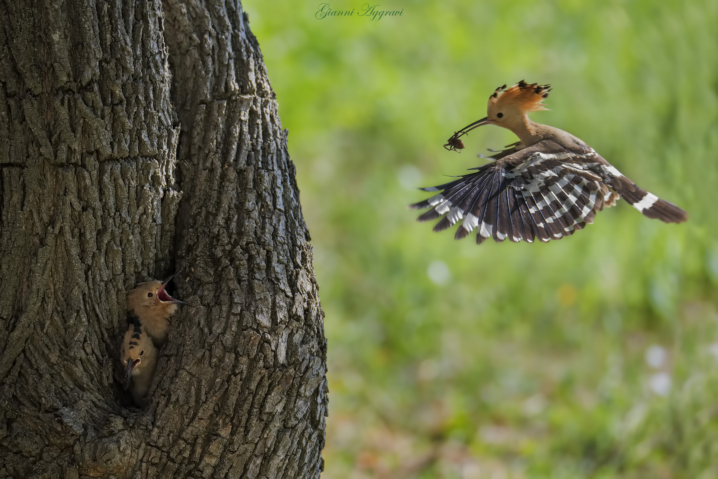 Hoopoe struggling with the family...