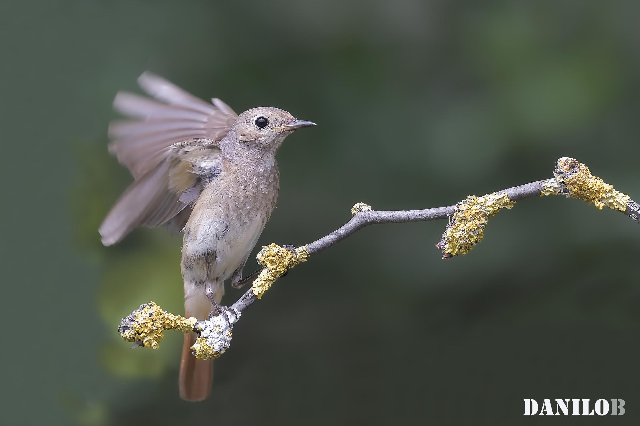 Redstart ♀...