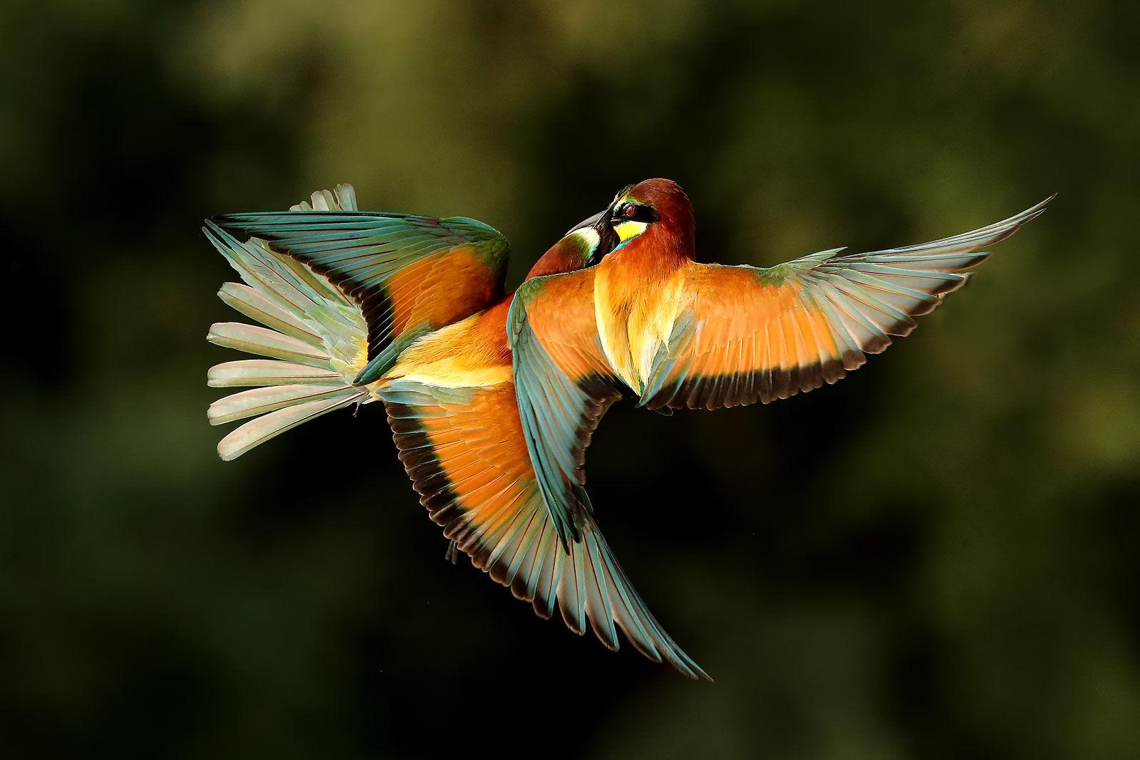 Fightin' Bee-Eaters...