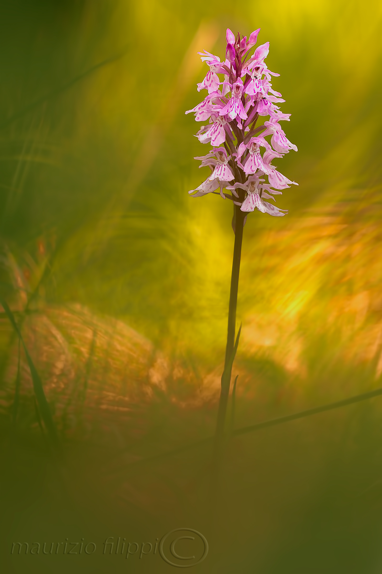 Dactylorizha maculata...