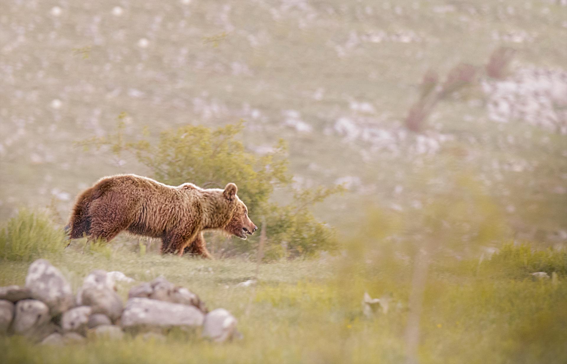 Brown Bear Marsicano...