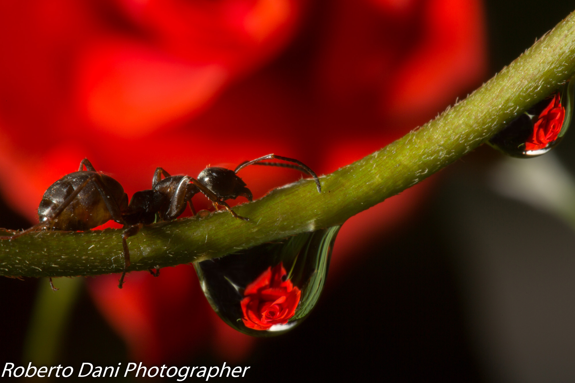 Ant and Rose...