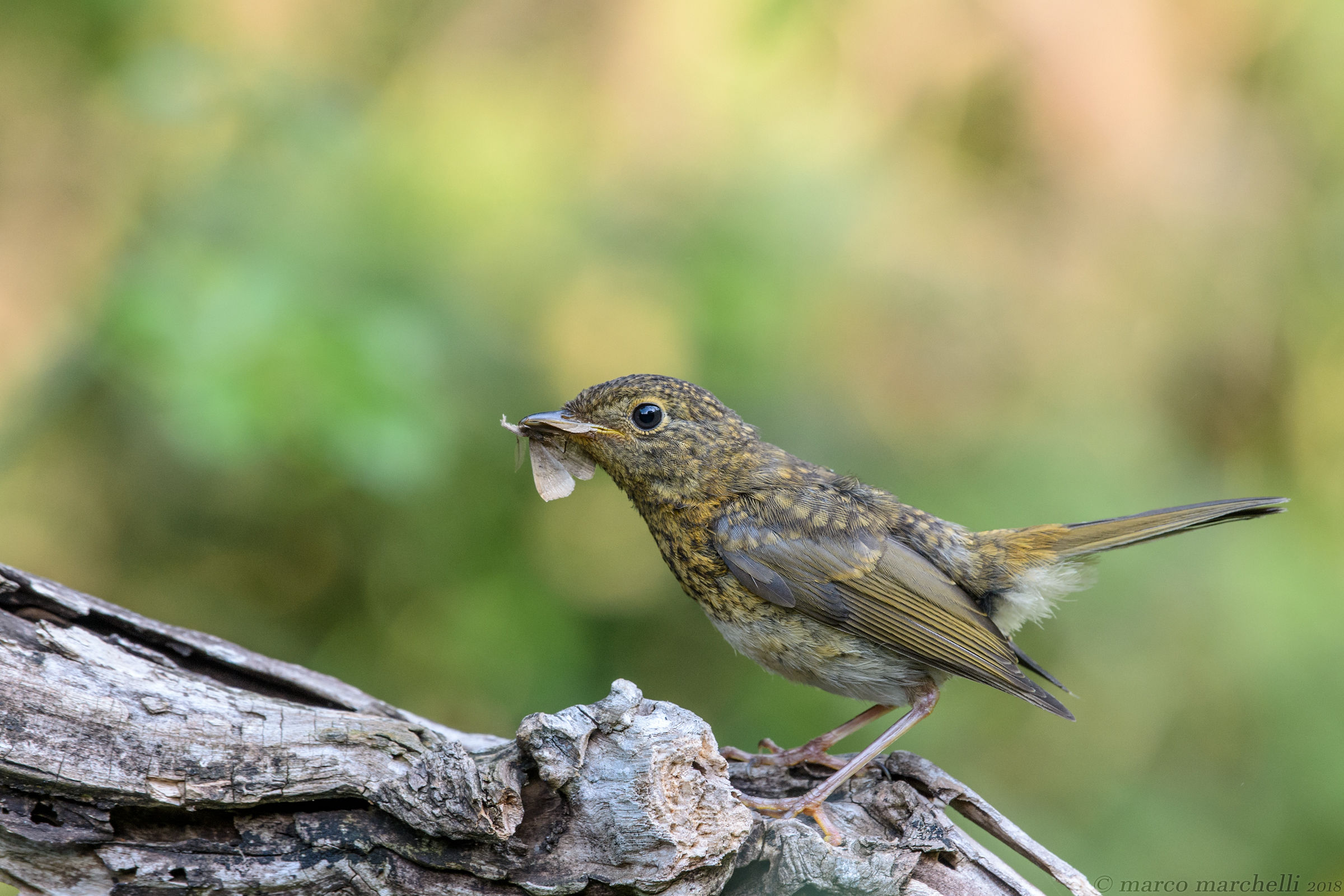 Young Robin with Prey...