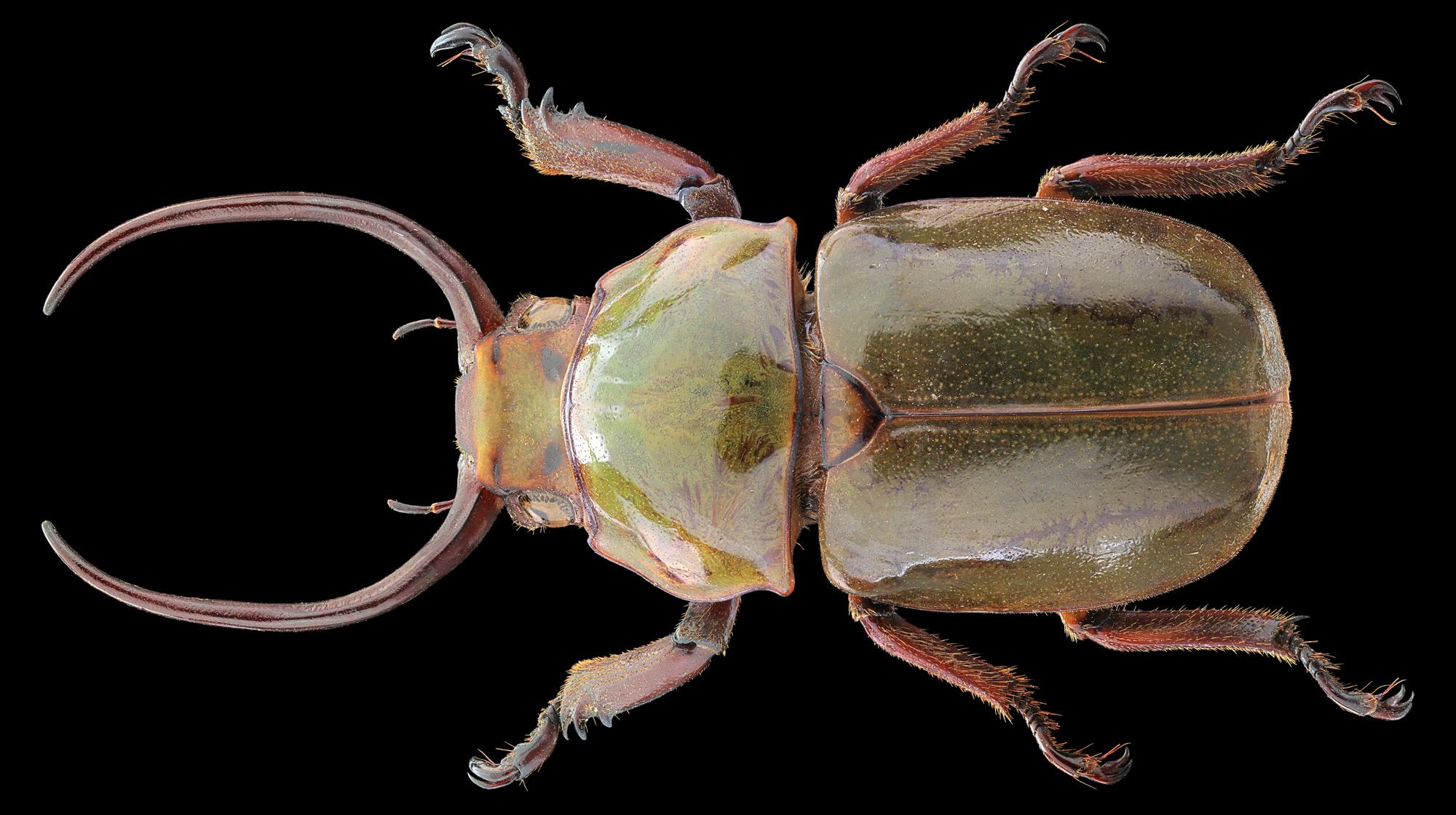 Kibakoganea Tamdaoensis Minor...