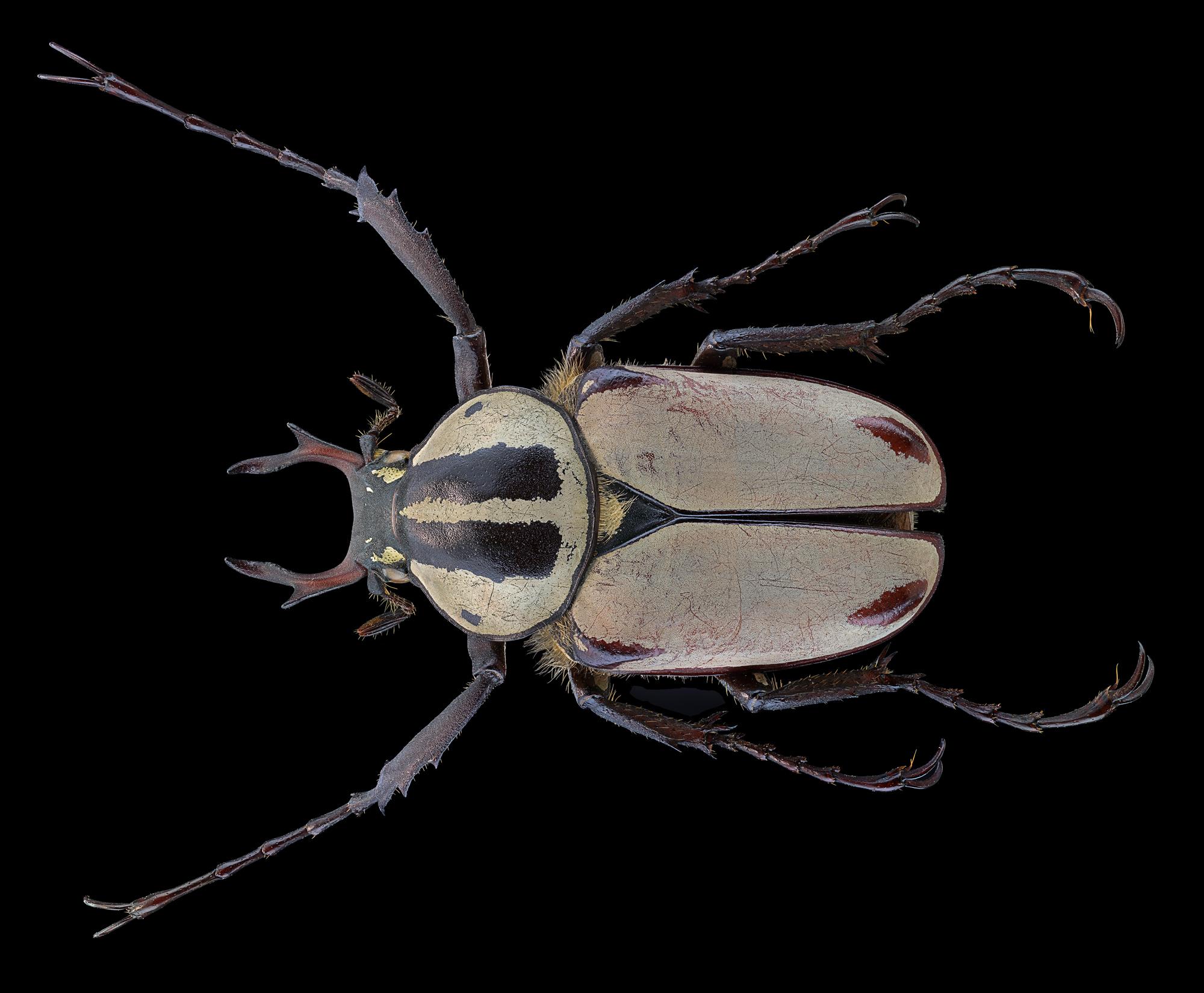 Dicranocephalus Adami...