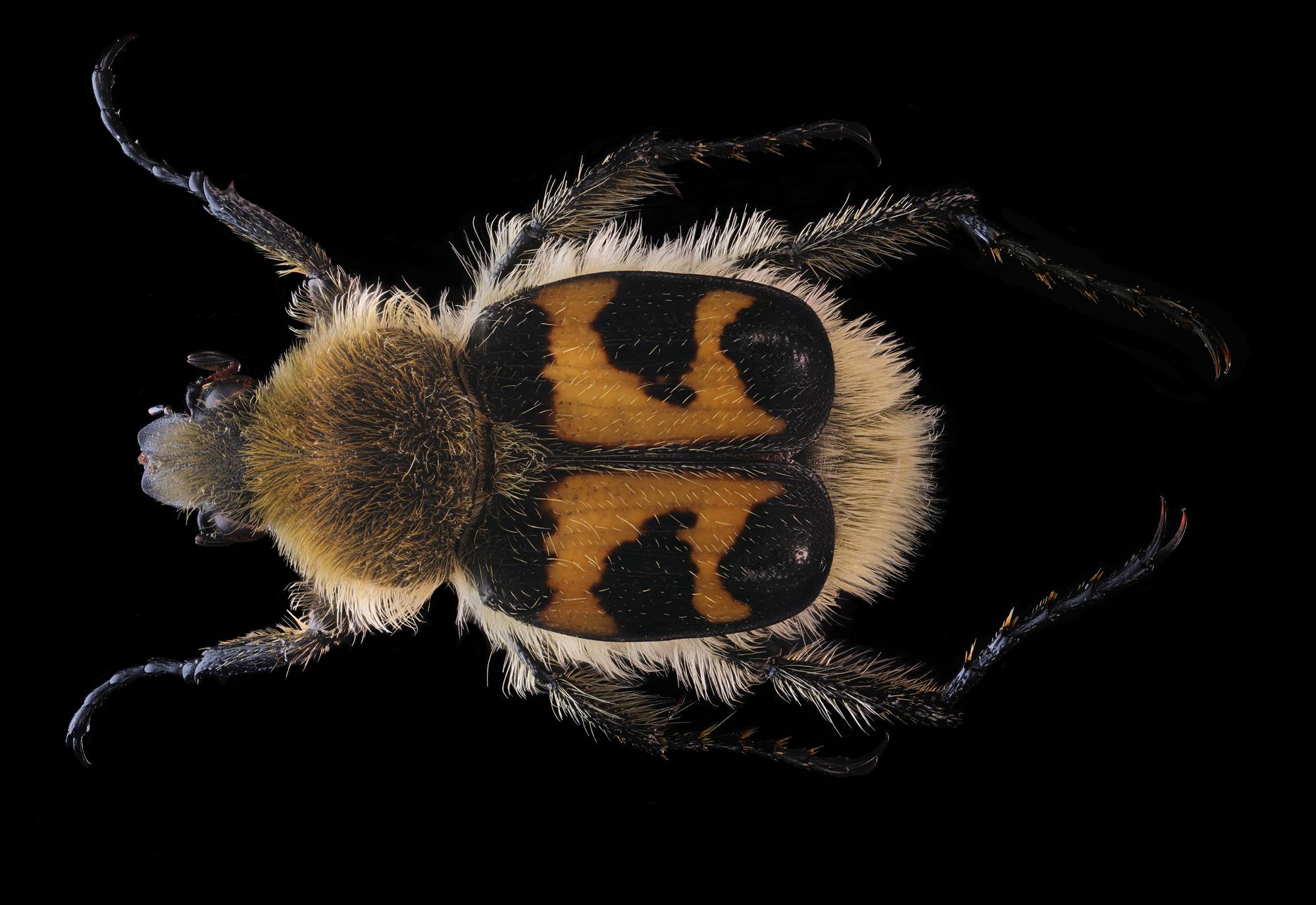 Trichius fasciatus...