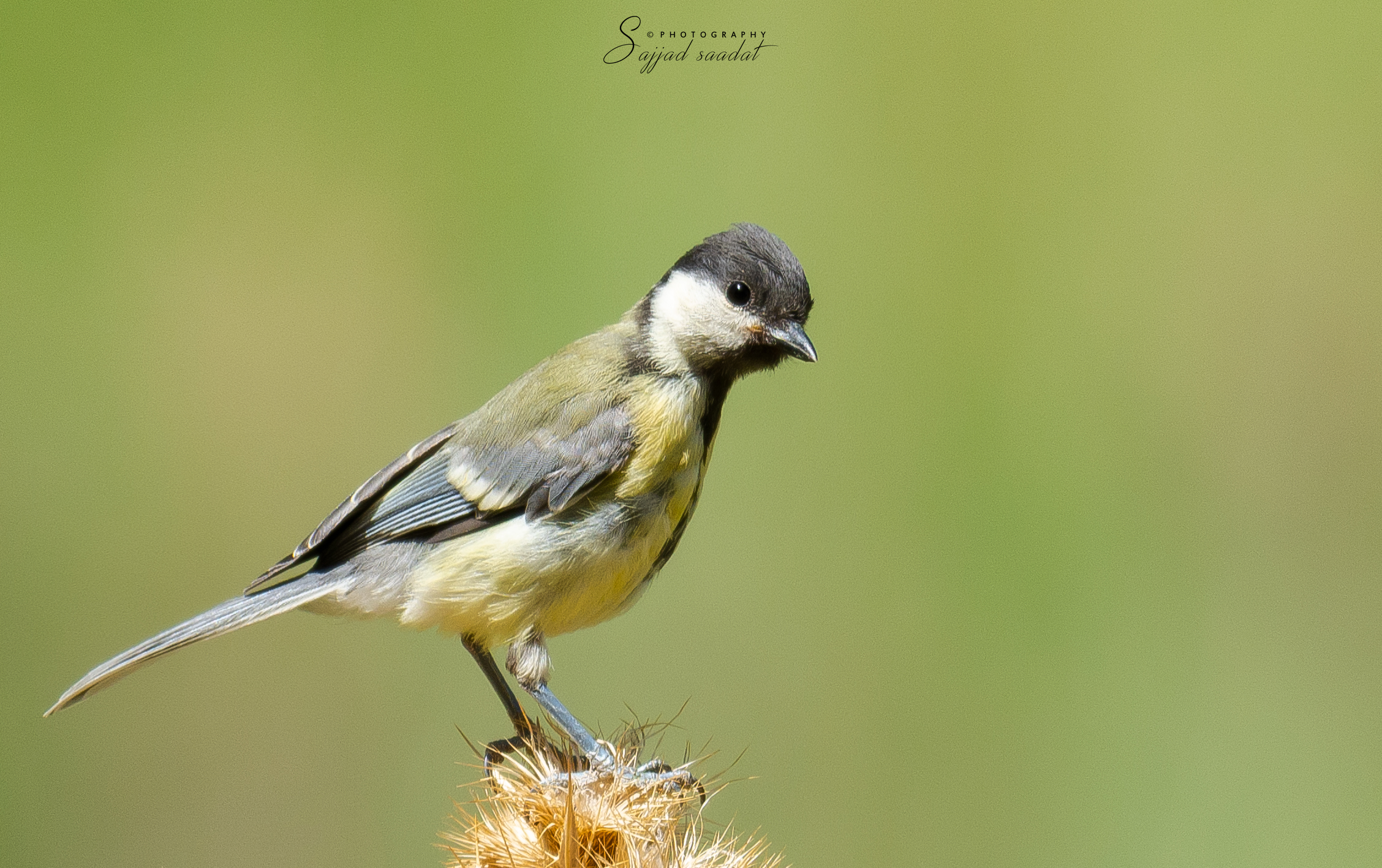 Great tit...