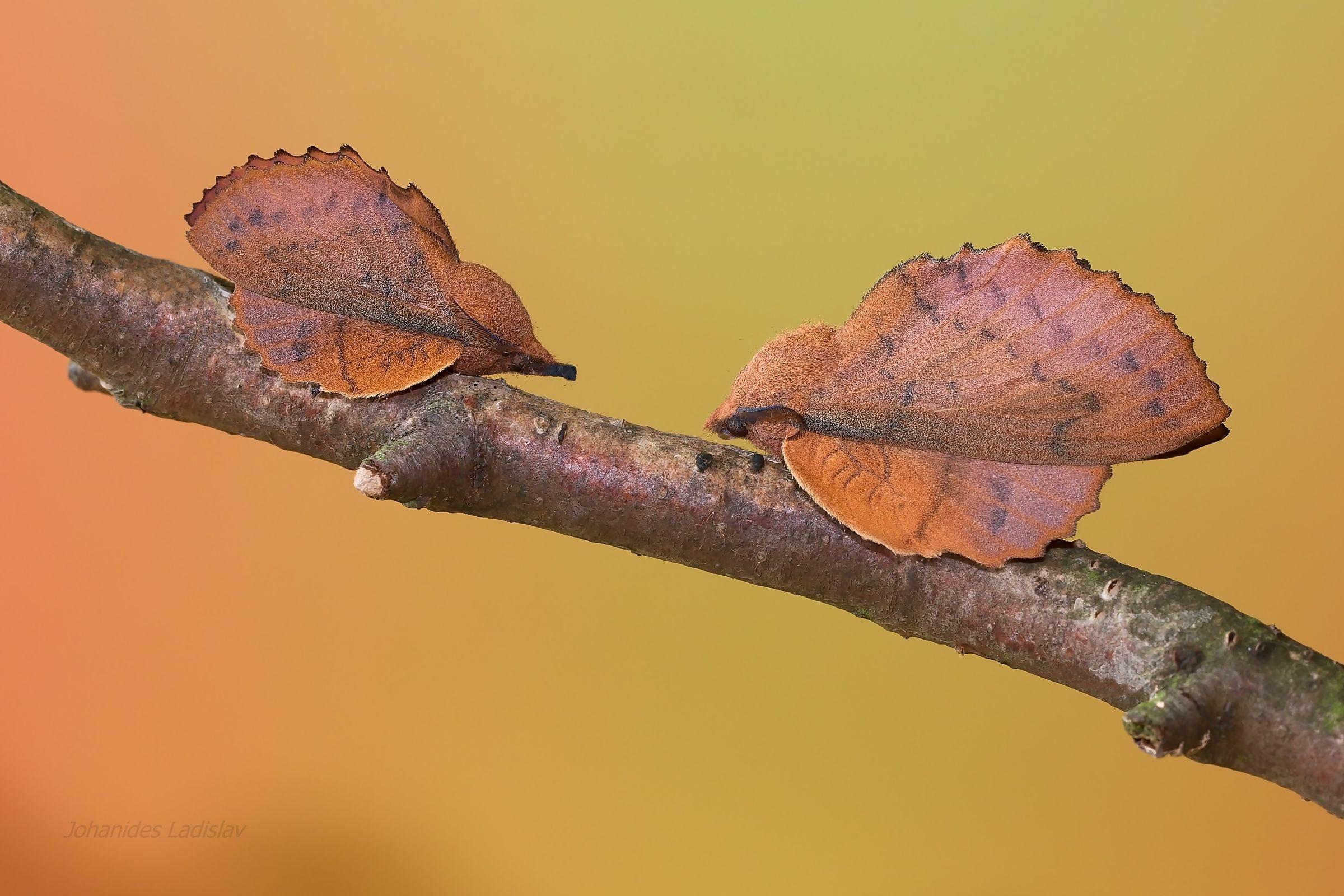 Gastropacha quercifolia...