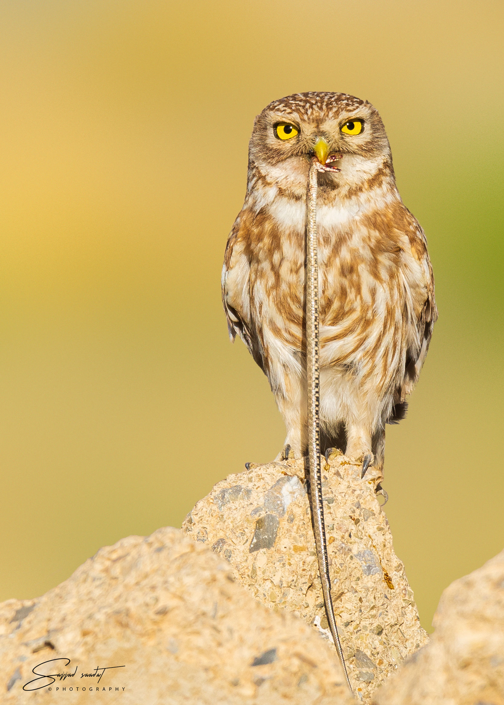 little owl...