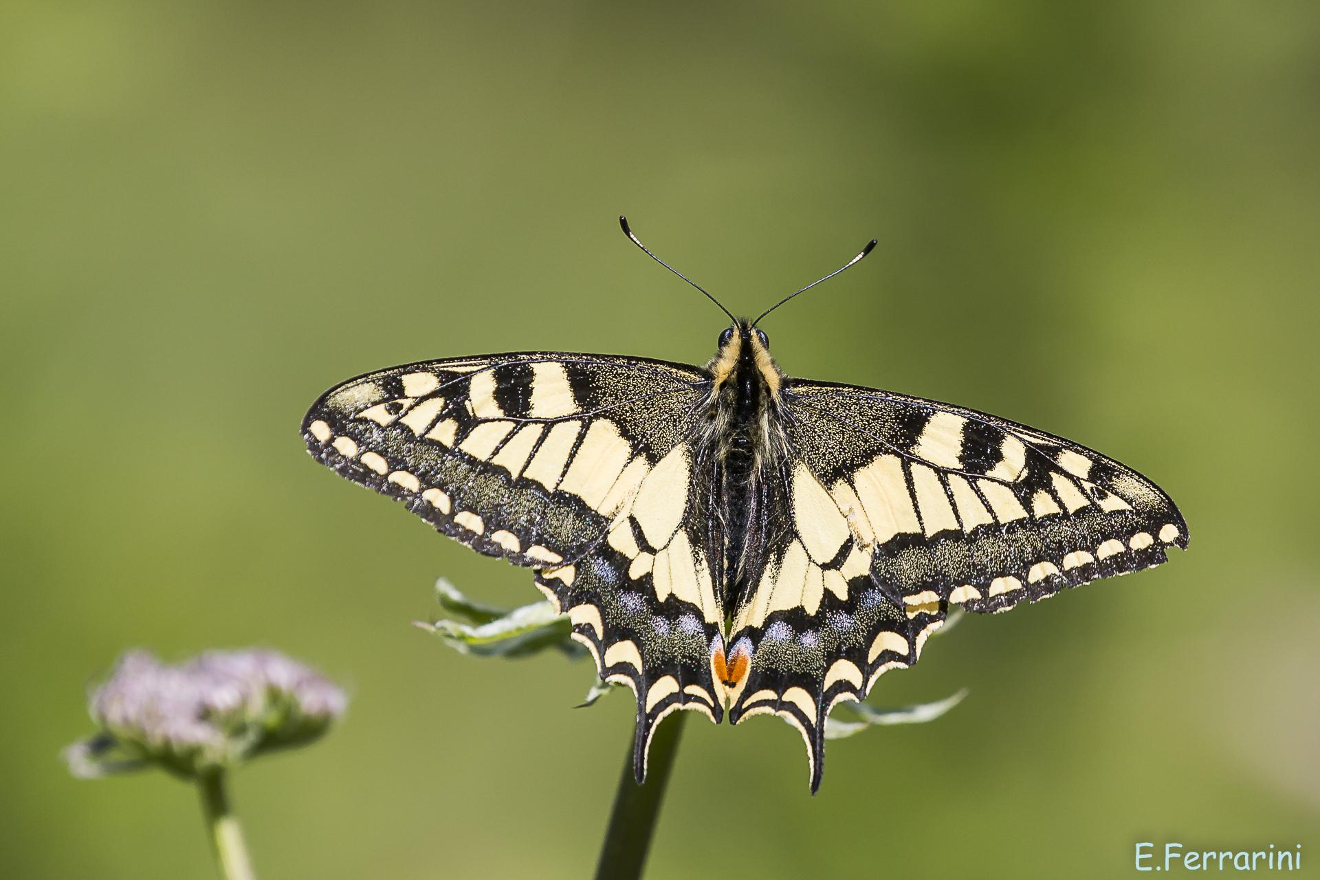 Beautiful! Swallowtail...