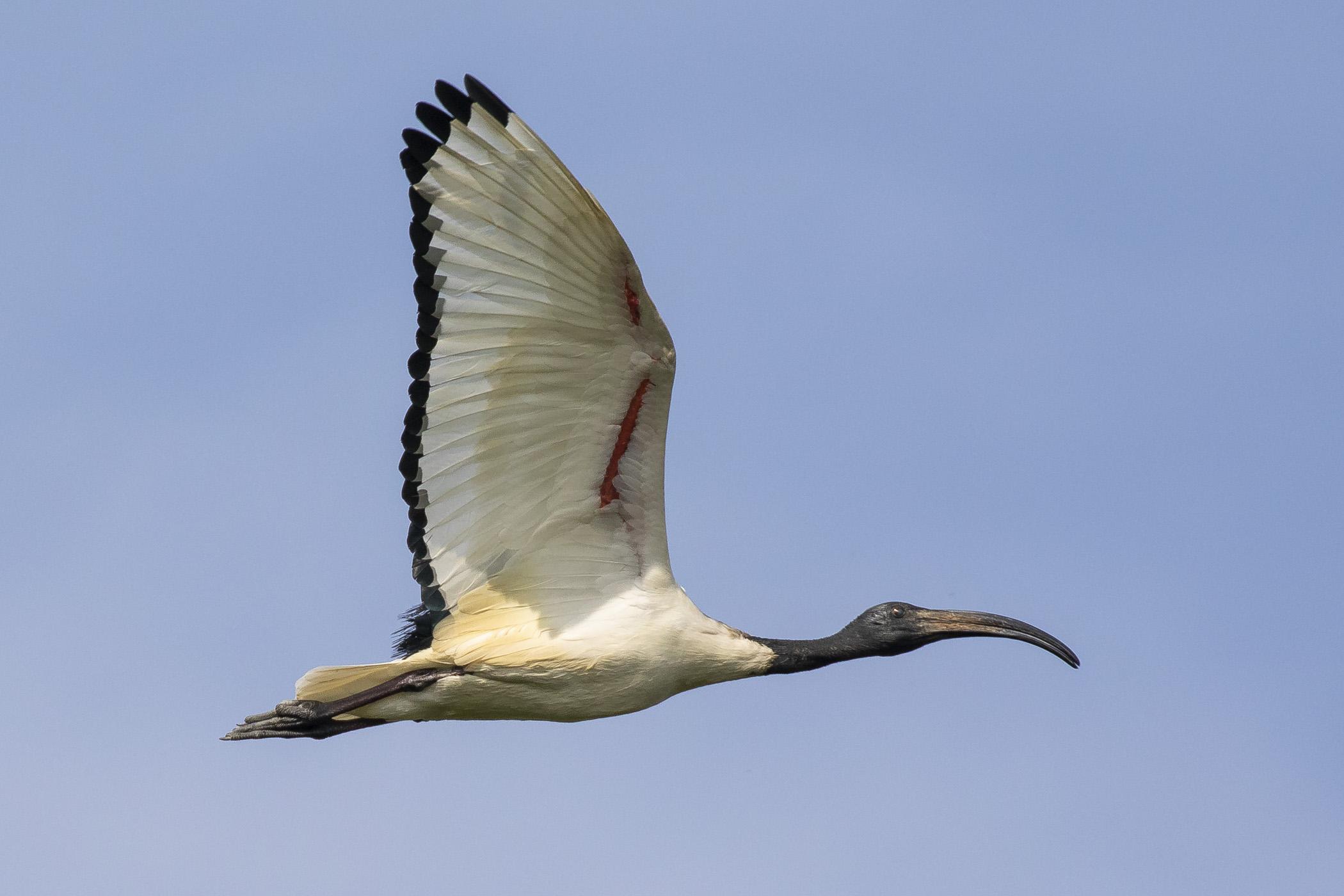 Il volo dell' Ibis Sacro...