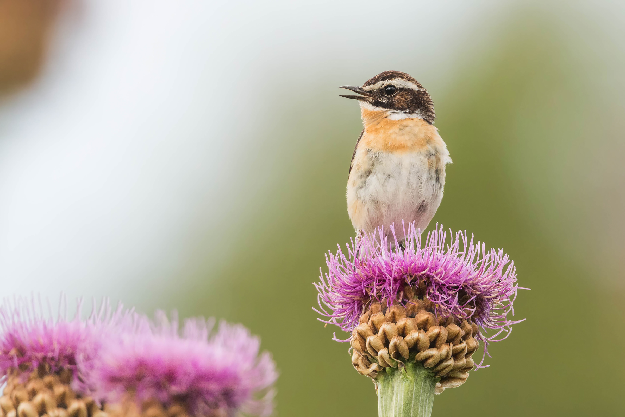 Whinchat in singing...