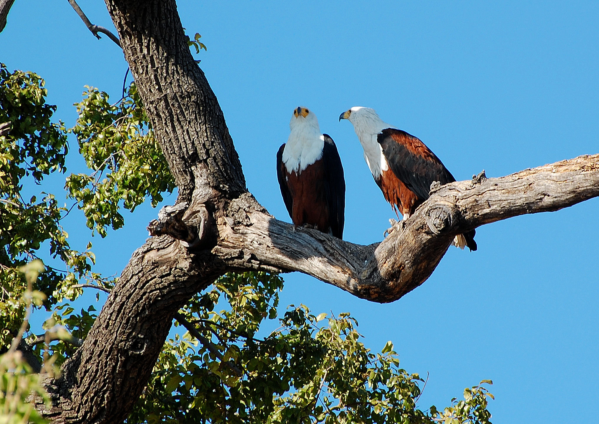 Botswana Chobe Park: He scans and she admires him...